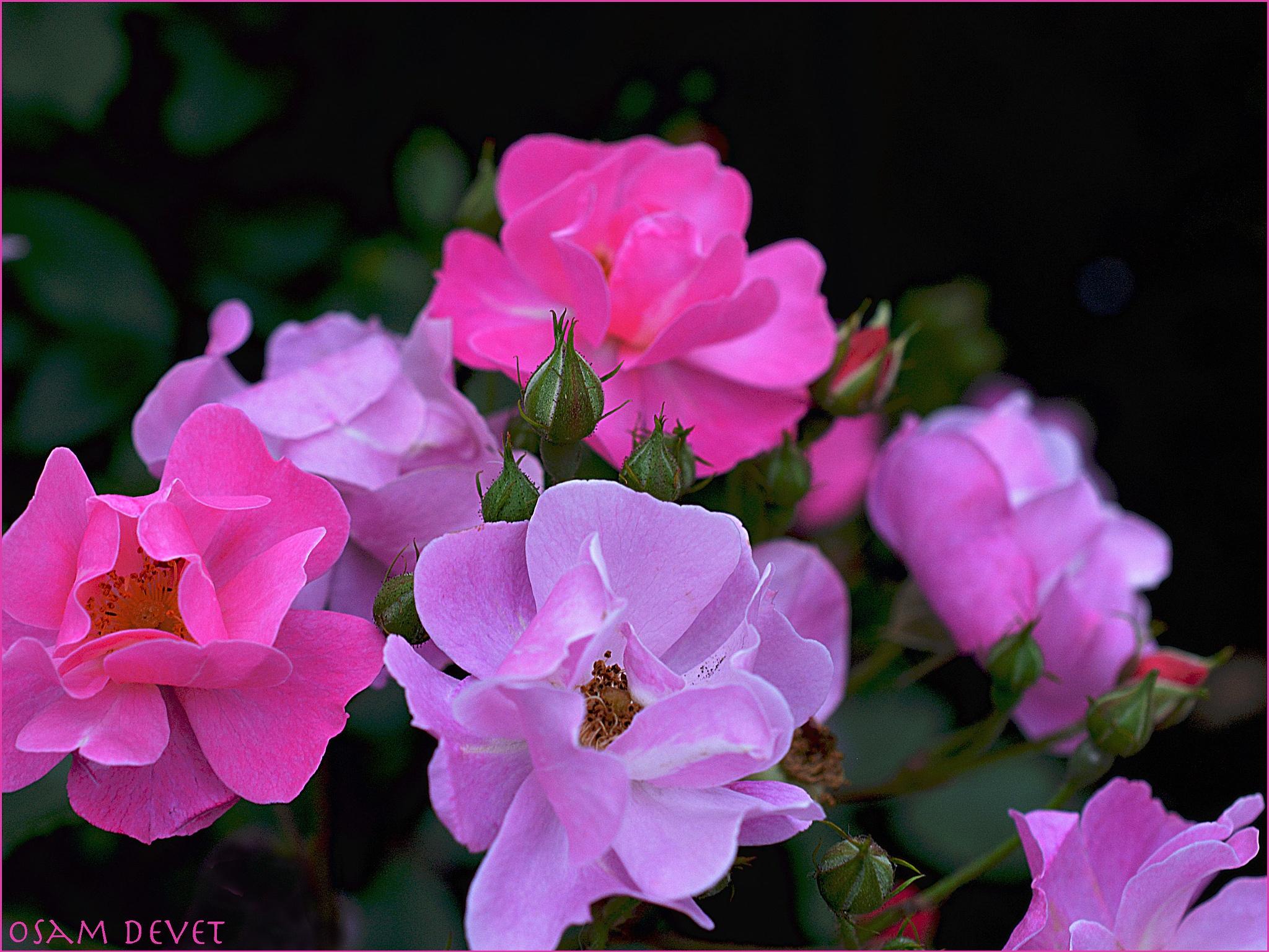 Roses  two colors_0331 by OSAMU HIROKAWA