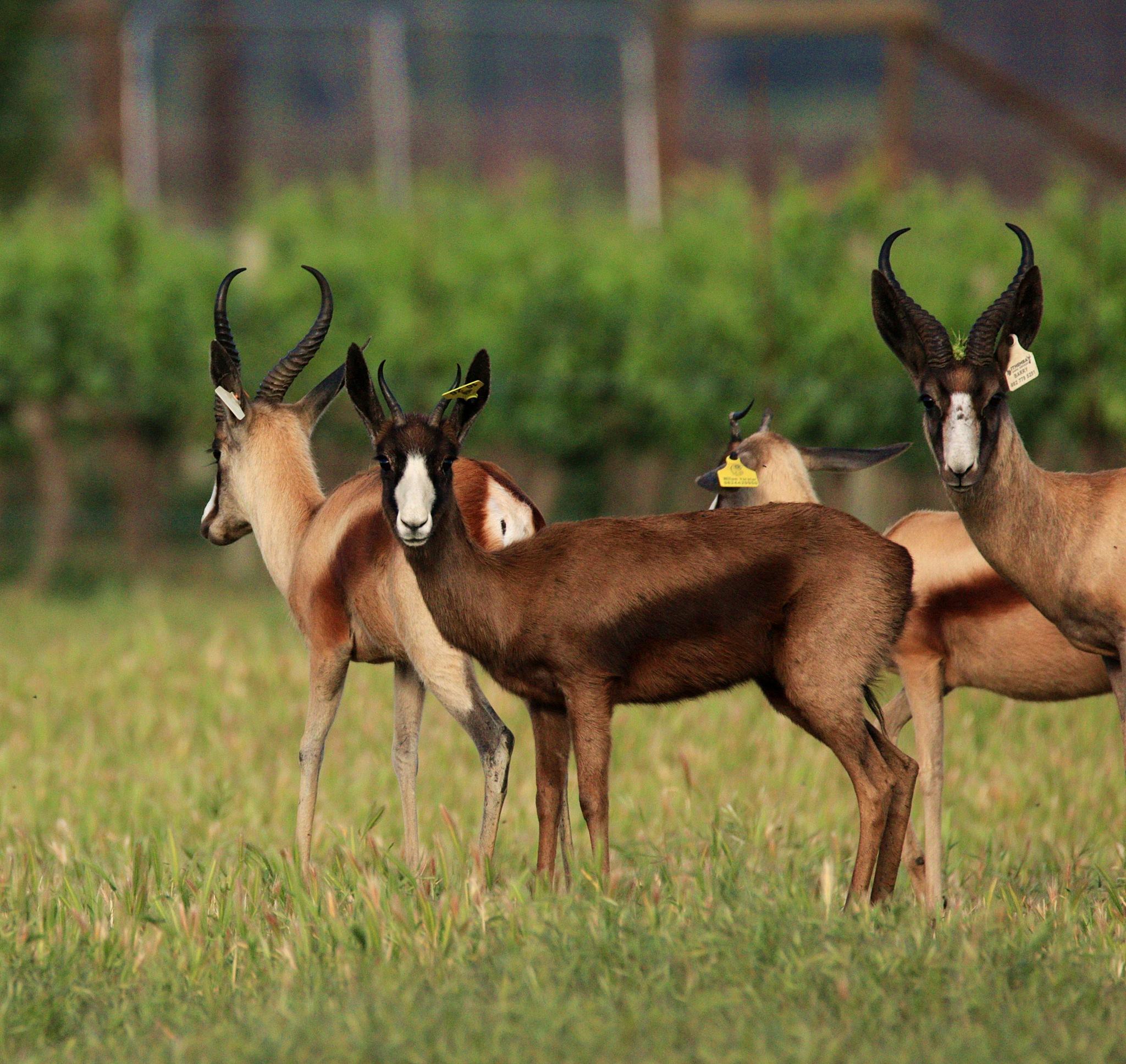 swart springbok by ABRossouw
