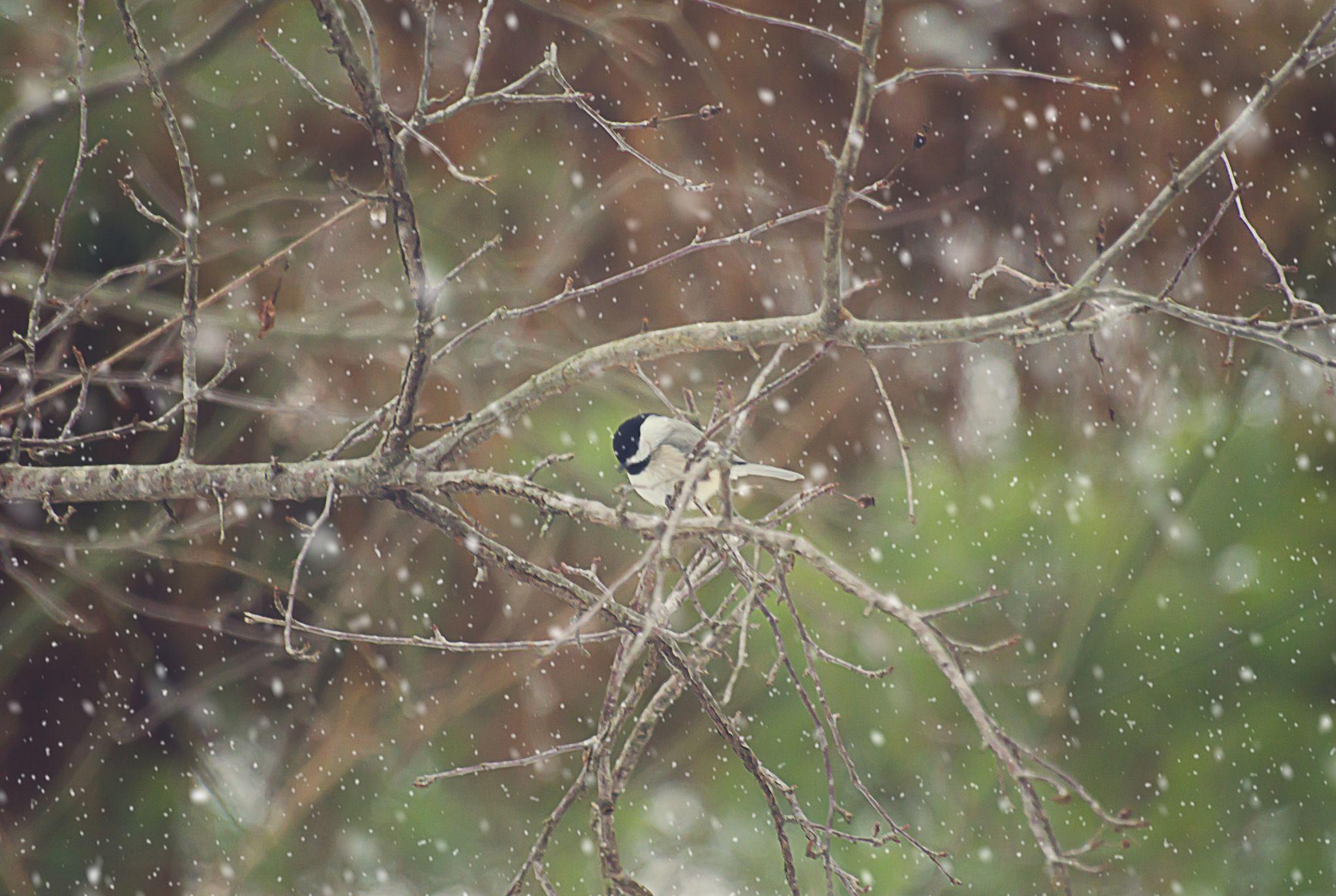 Snowy Chickadee by TeresaAnnSchmid