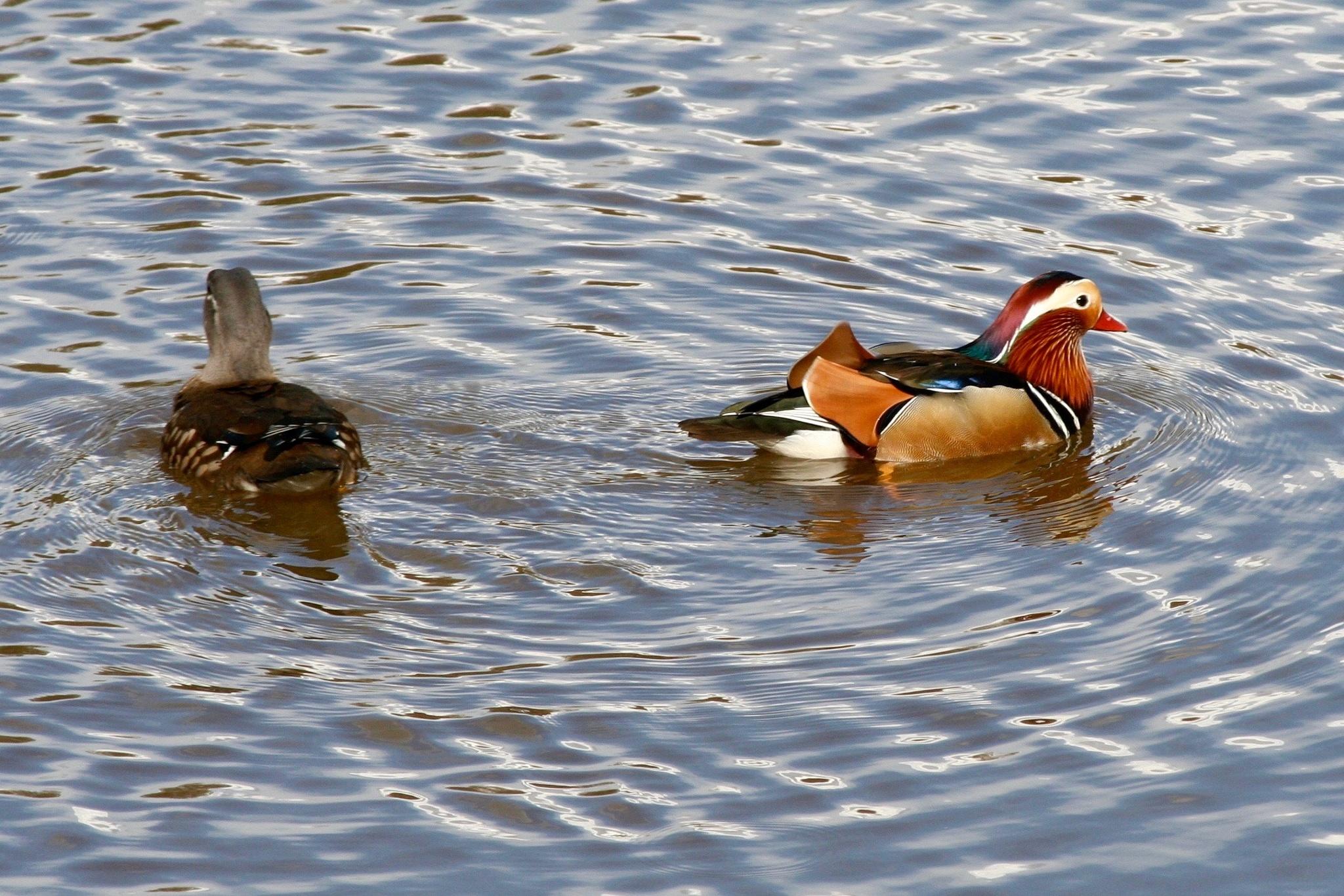 Mandarin Ducks by PaulWhiteman