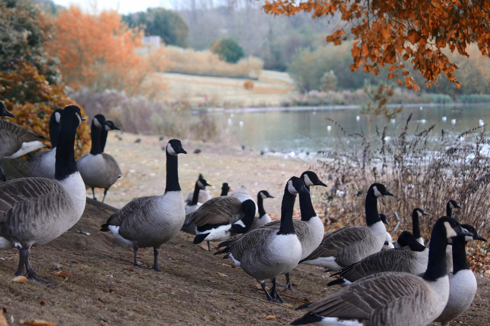 Canada Geese by PaulWhiteman