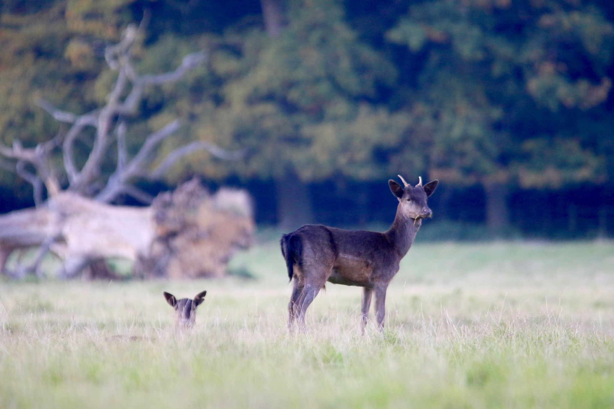 A Young Buck by PaulWhiteman