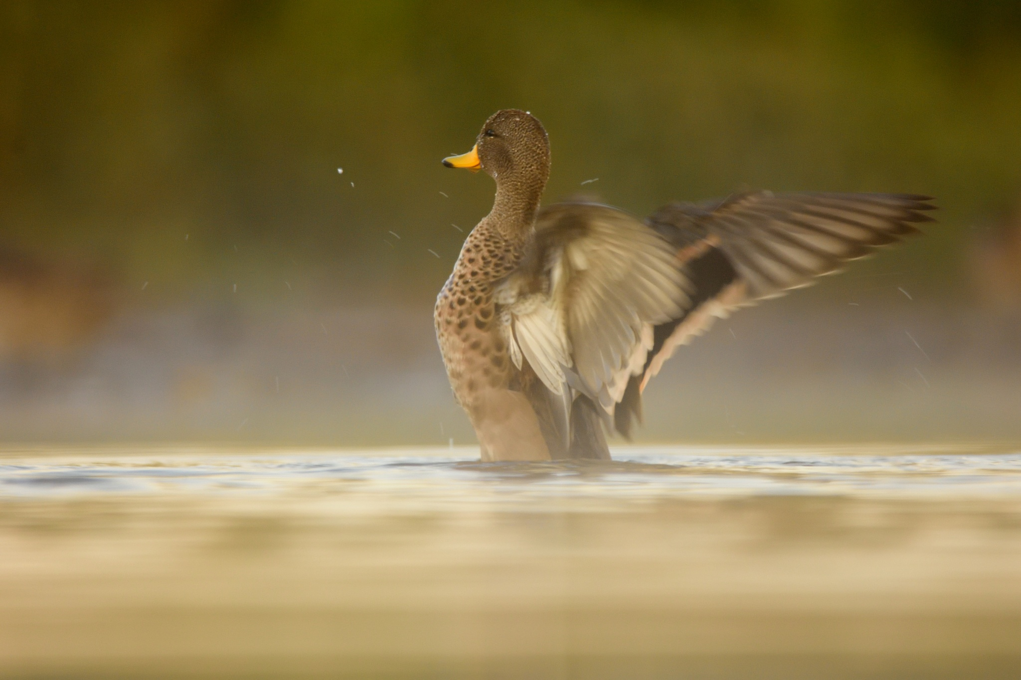 Photo in Animal #pato #aves