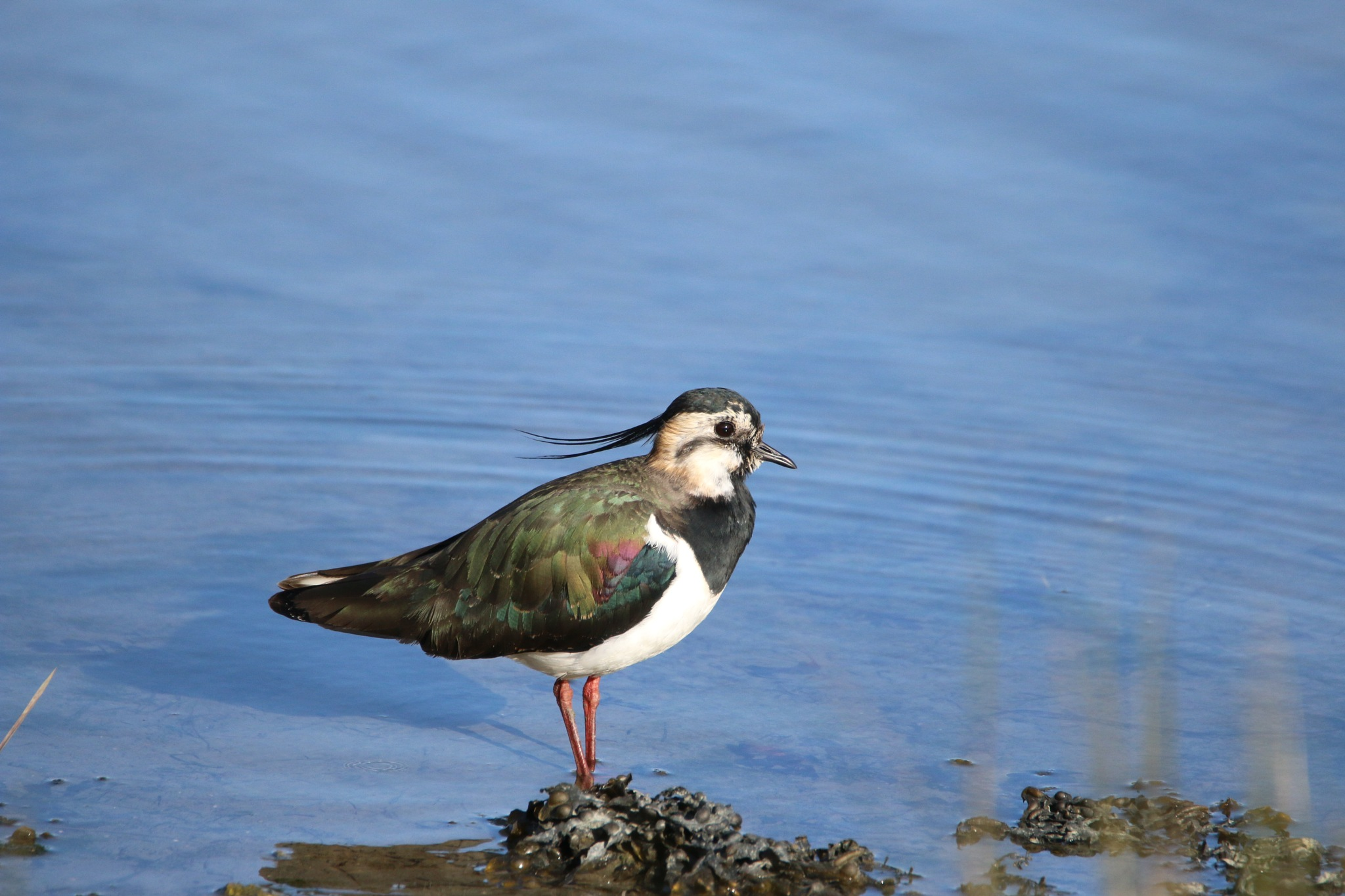 lapwing by kally