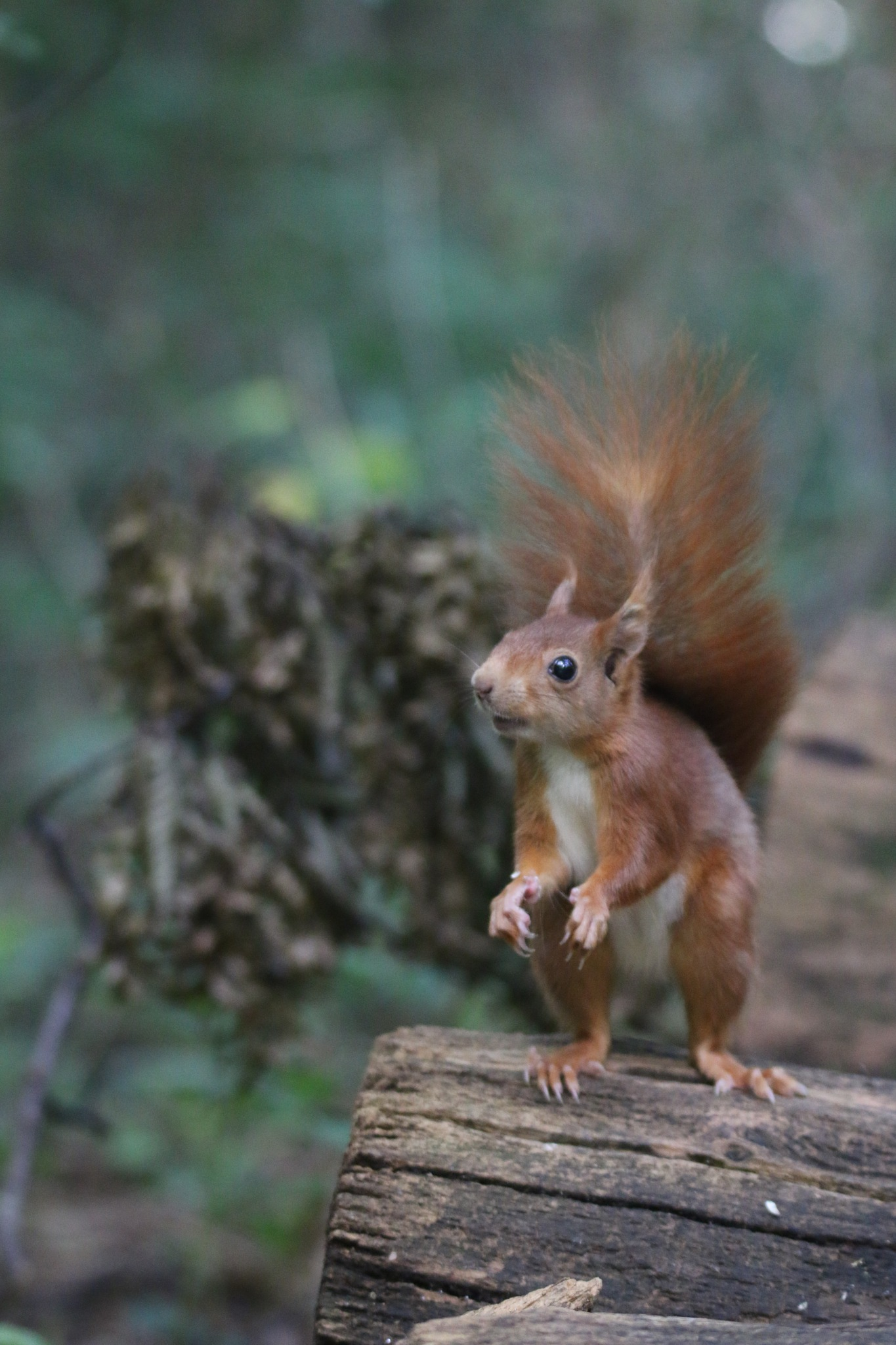 red squirrel by kally