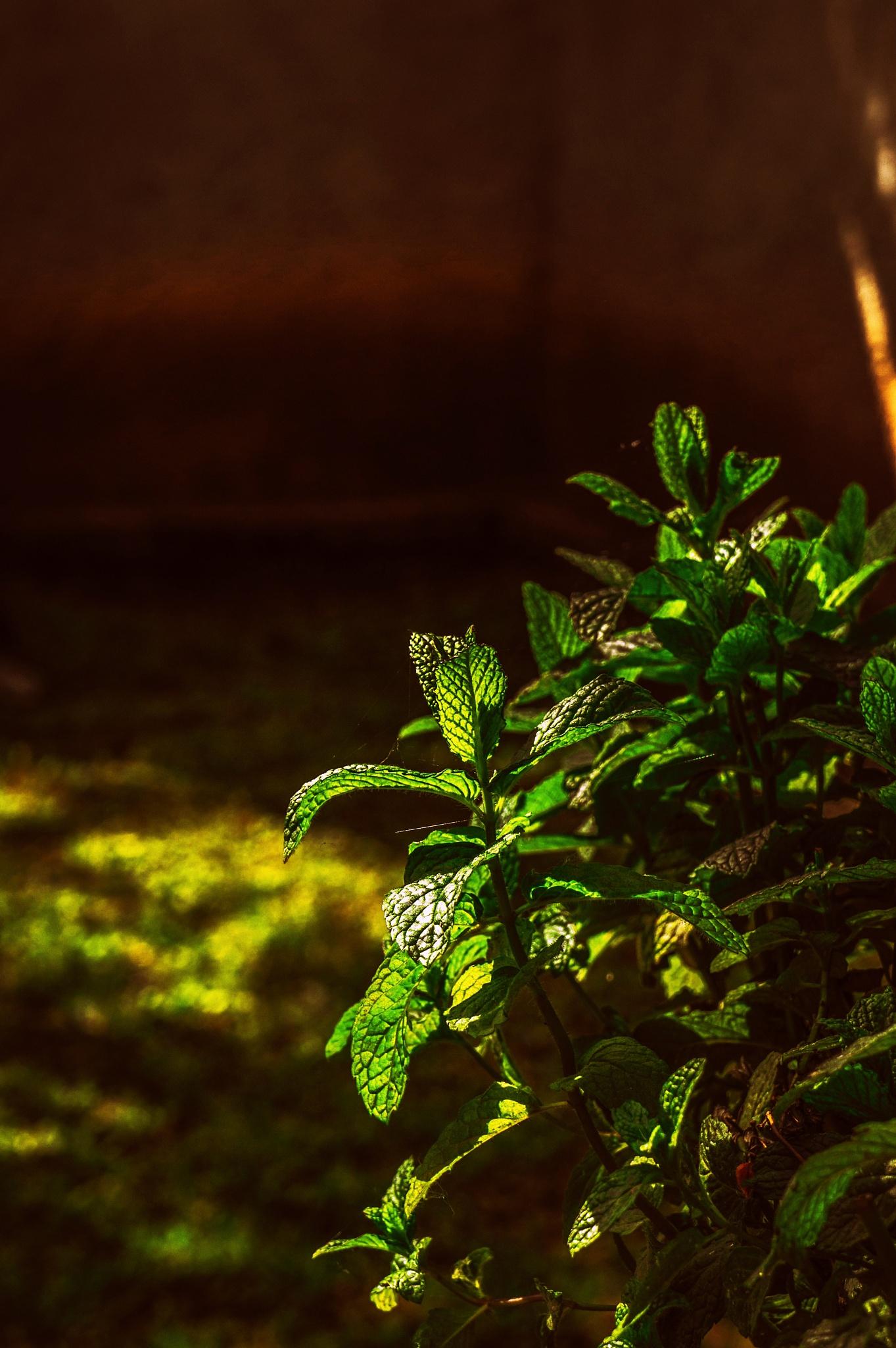 Mentha spicata by Elias Papageorgiou (Drifter Dfr)