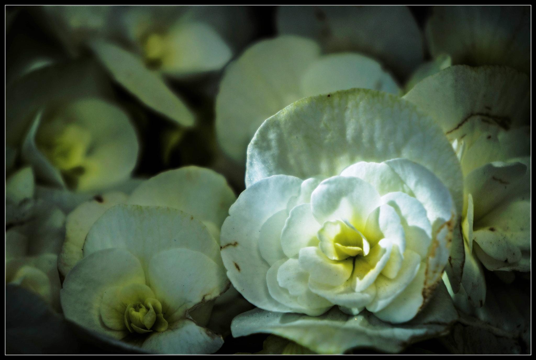 Begonia by Elias Papageorgiou (Drifter Dfr)