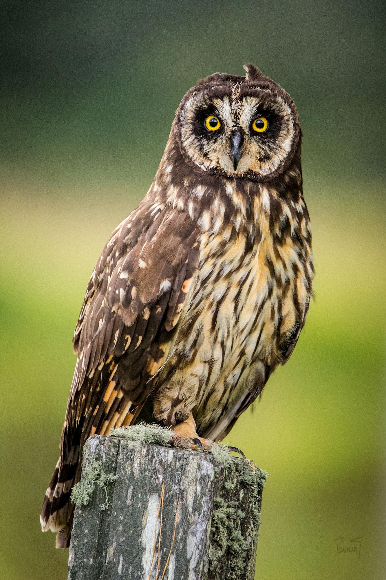 Photo in Animal #asio flammeus #aves #buho #retrato #nariño #colombia #pasto #naturaleza #cazador #depredador