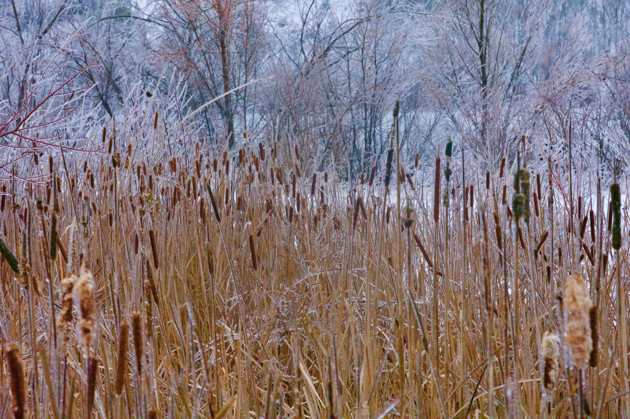 Cattails in ice by John  Lepisto