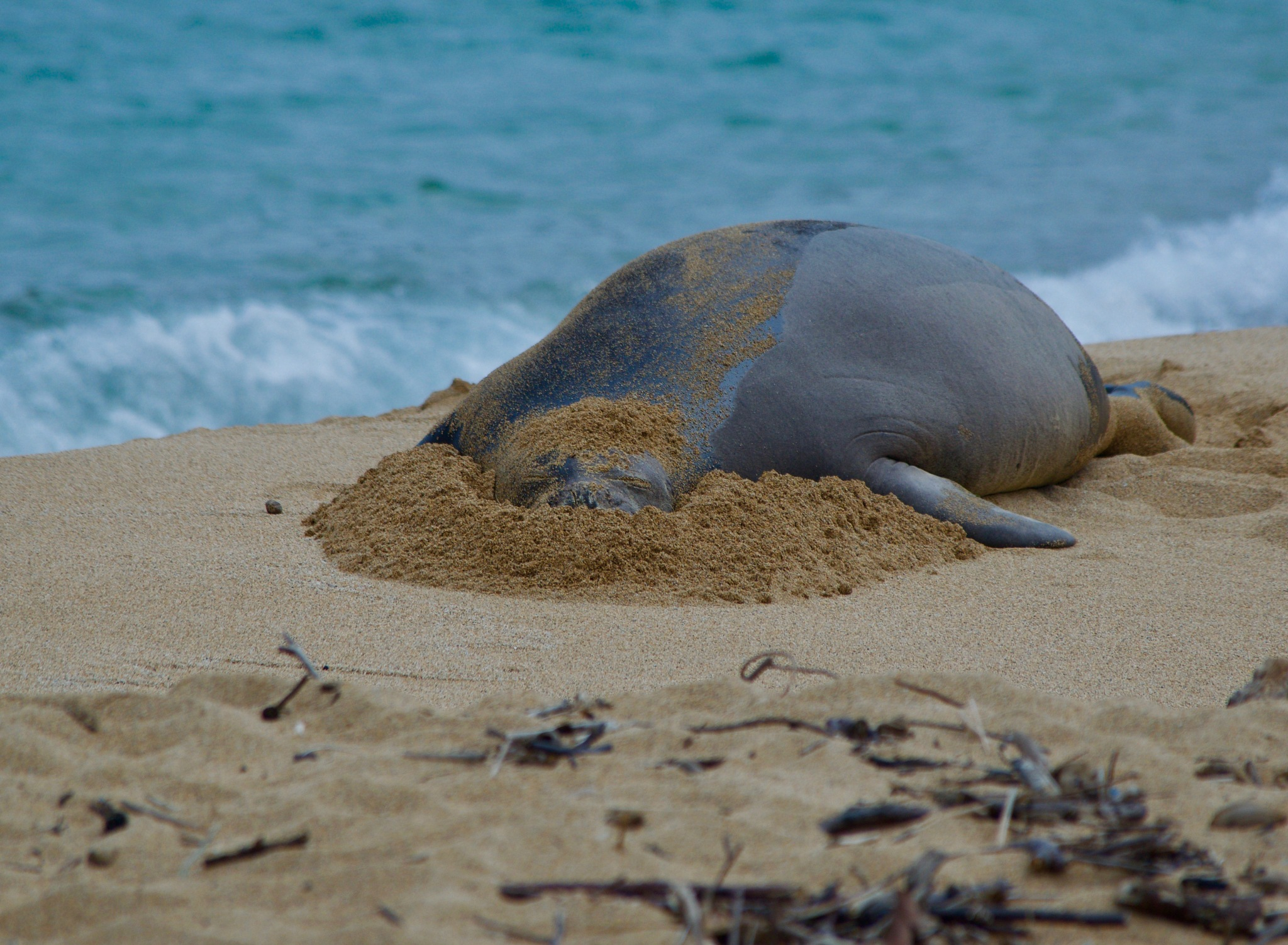 Female Monk Seal by John  Lepisto