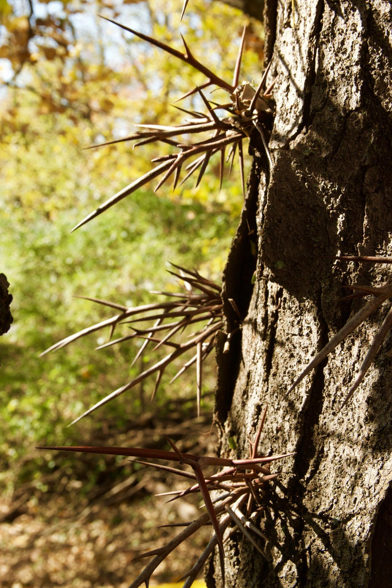 Black Locust Tree by John  Lepisto