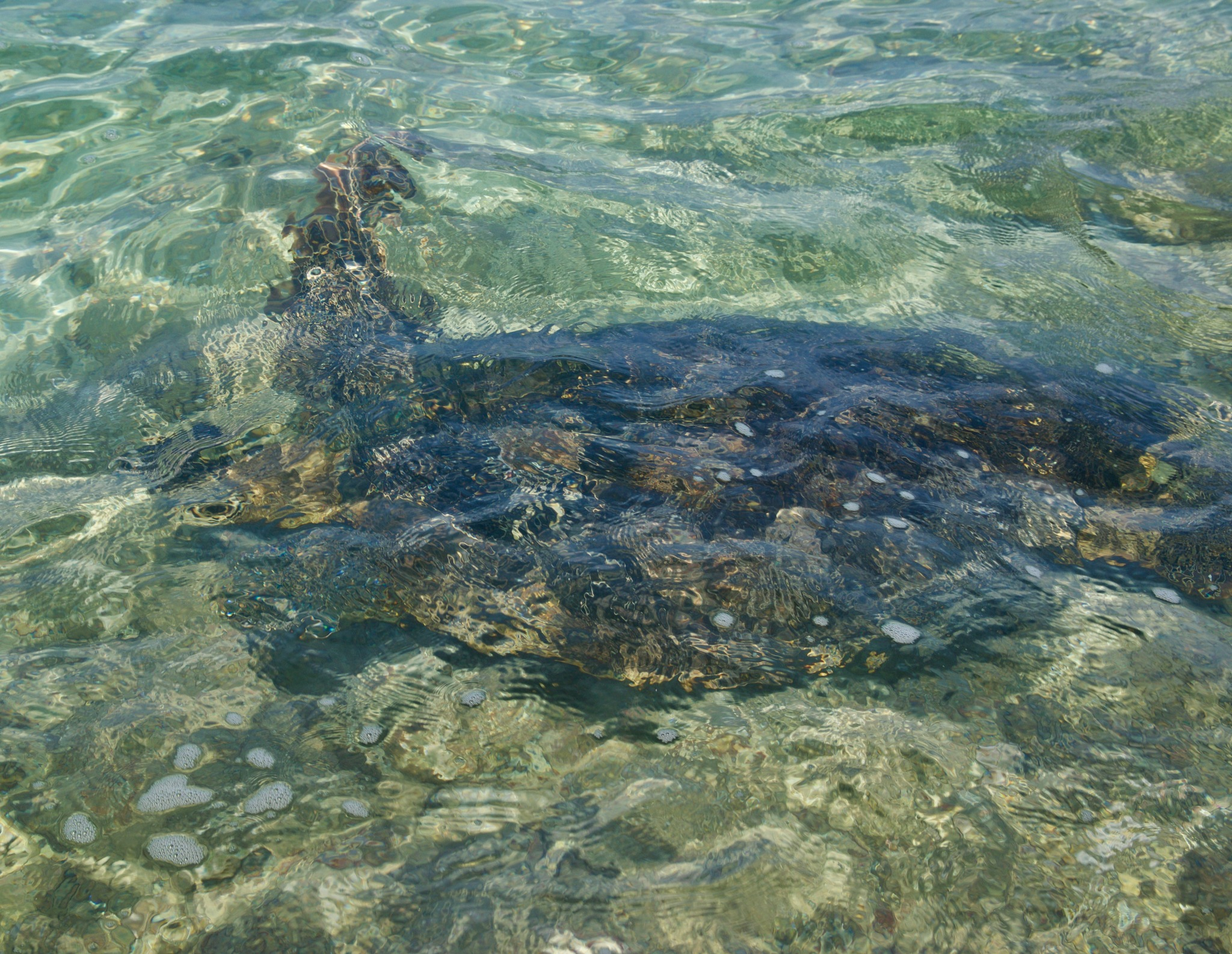 Hawaiian Green Sea Turtle by John  Lepisto