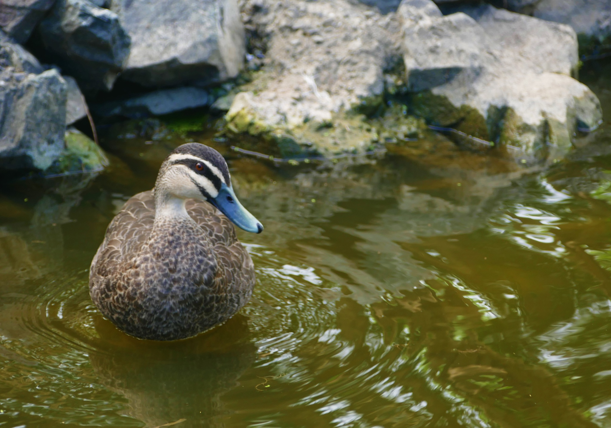 another duck by sarabell