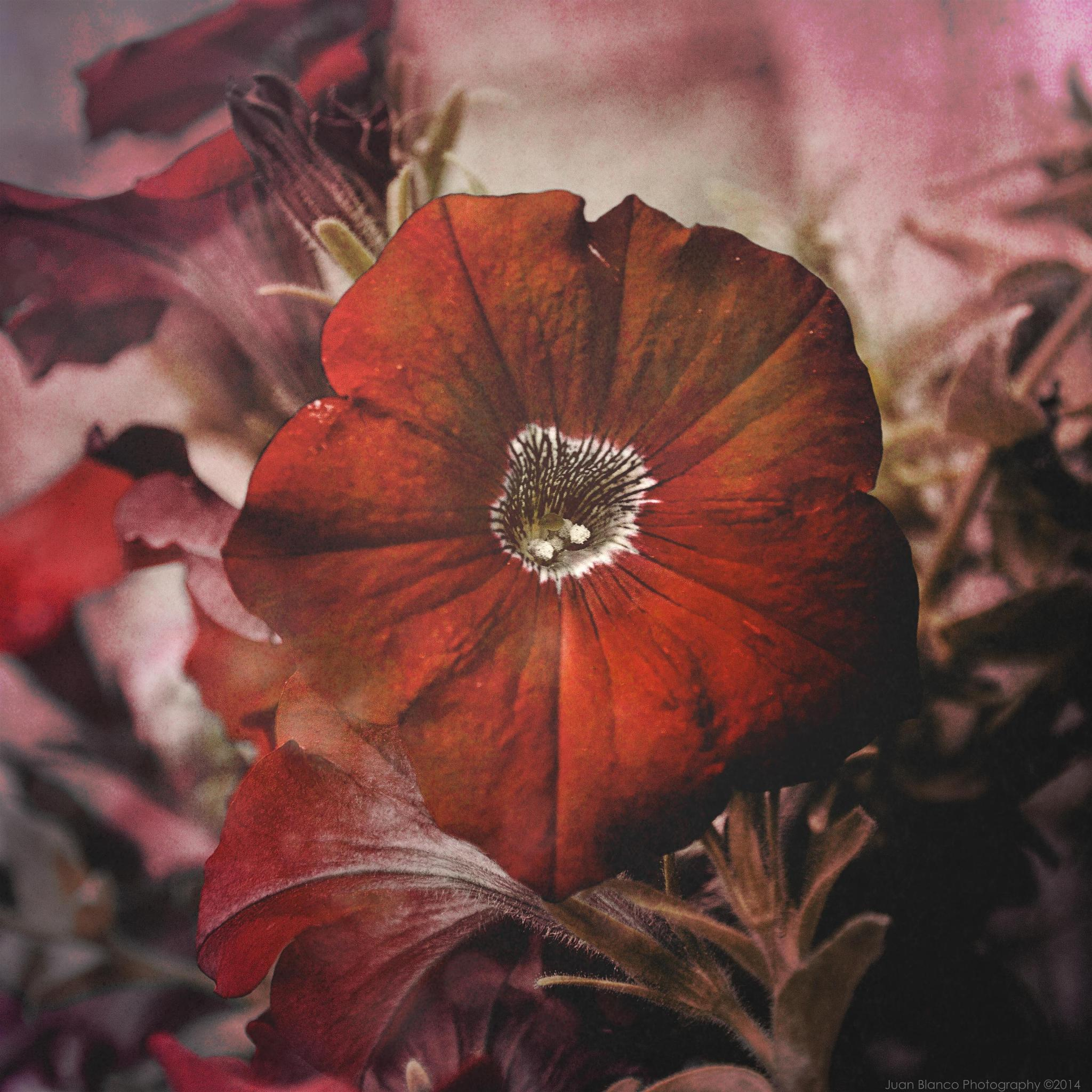 """""""Red"""" by JuanBlancoPhotography"""
