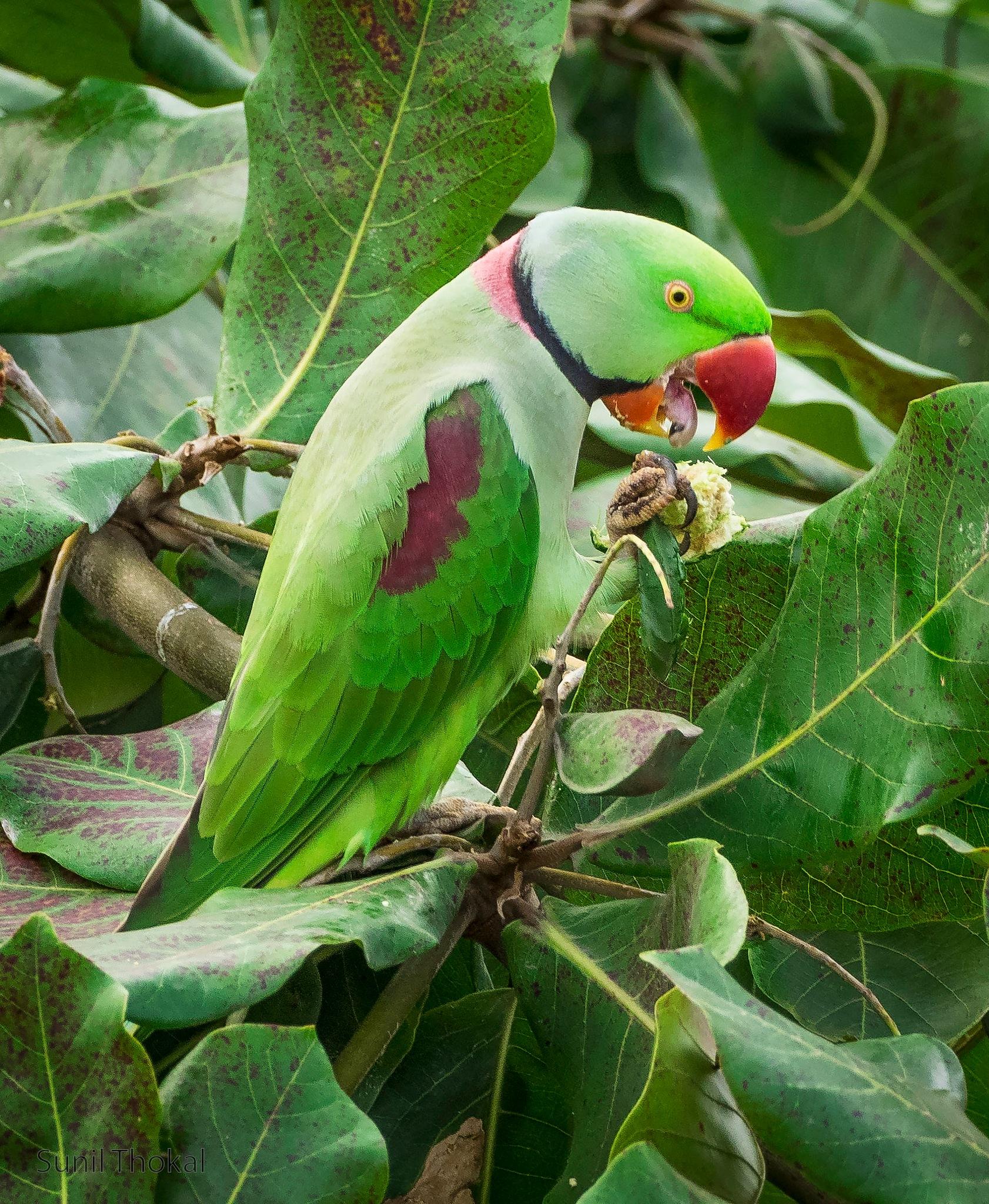 Alexandrine Parakeet by Sunil Prabhakar Thokal