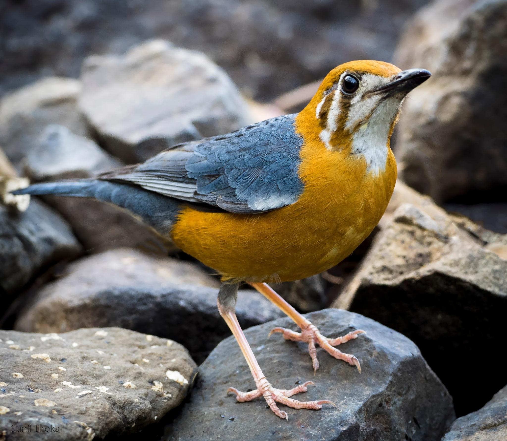 Orange Headed Thrush by Sunil Prabhakar Thokal