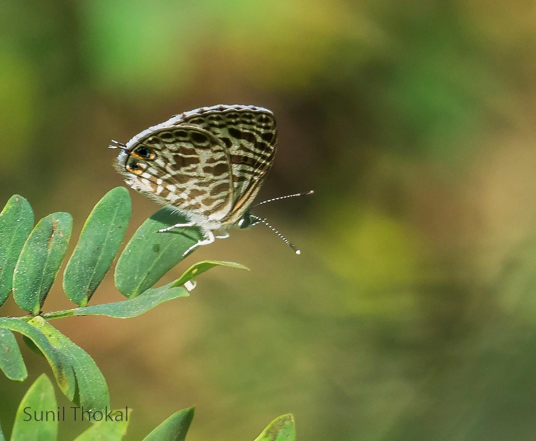Butterfly by Sunil Prabhakar Thokal