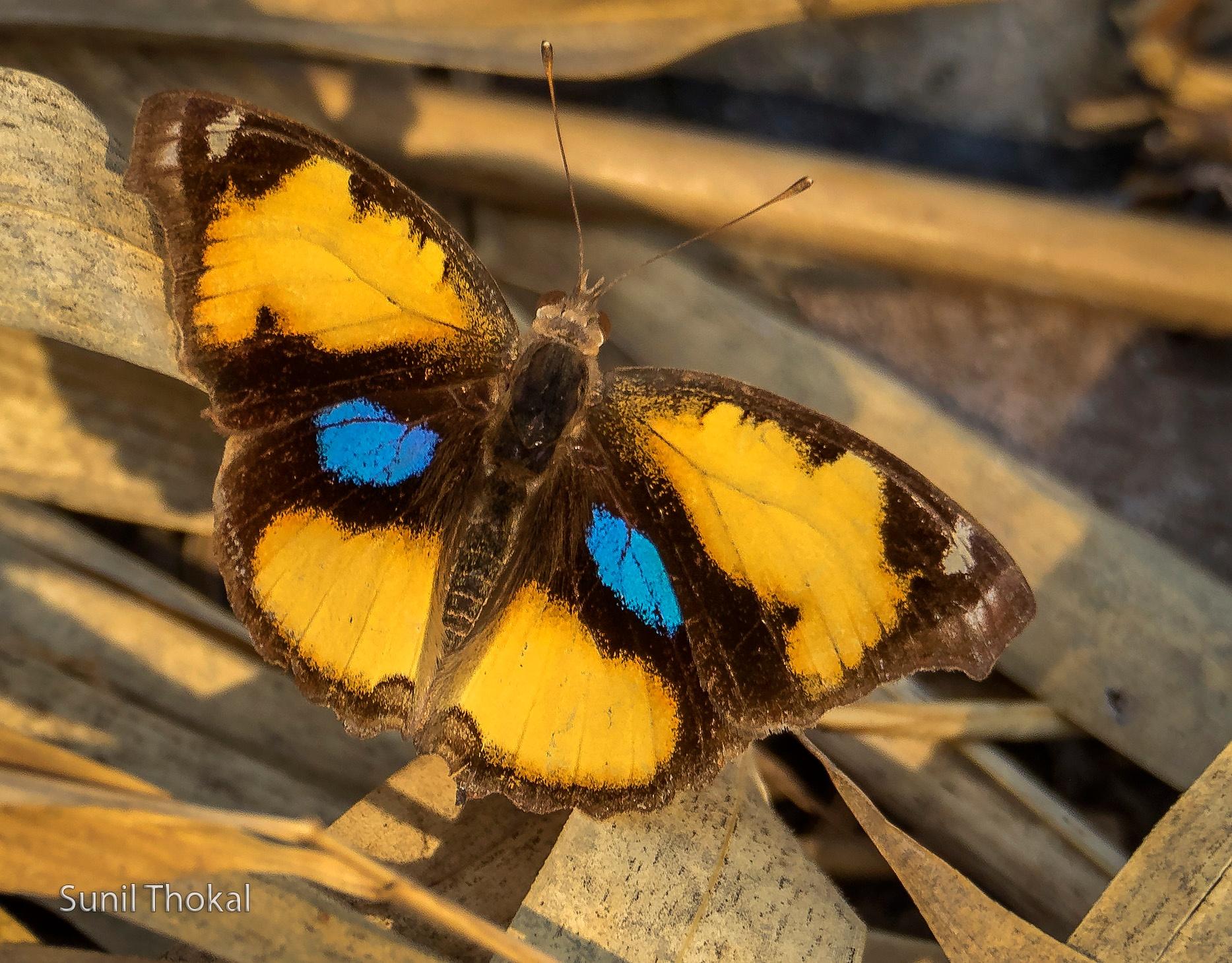 Yellow Pansy  by Sunil Prabhakar Thokal
