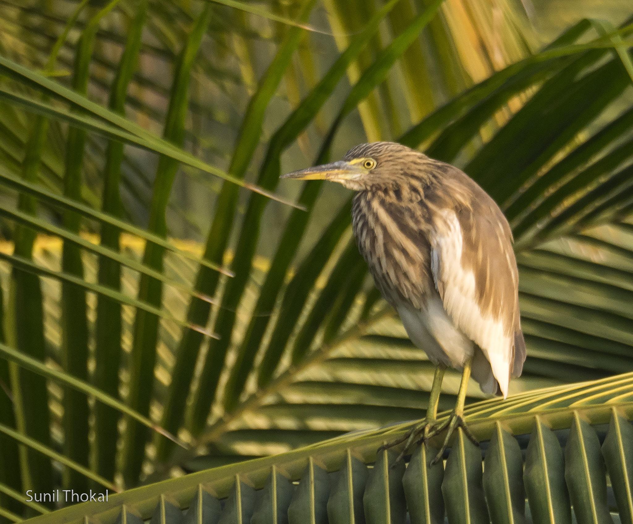Indian Pond Heron by Sunil Prabhakar Thokal