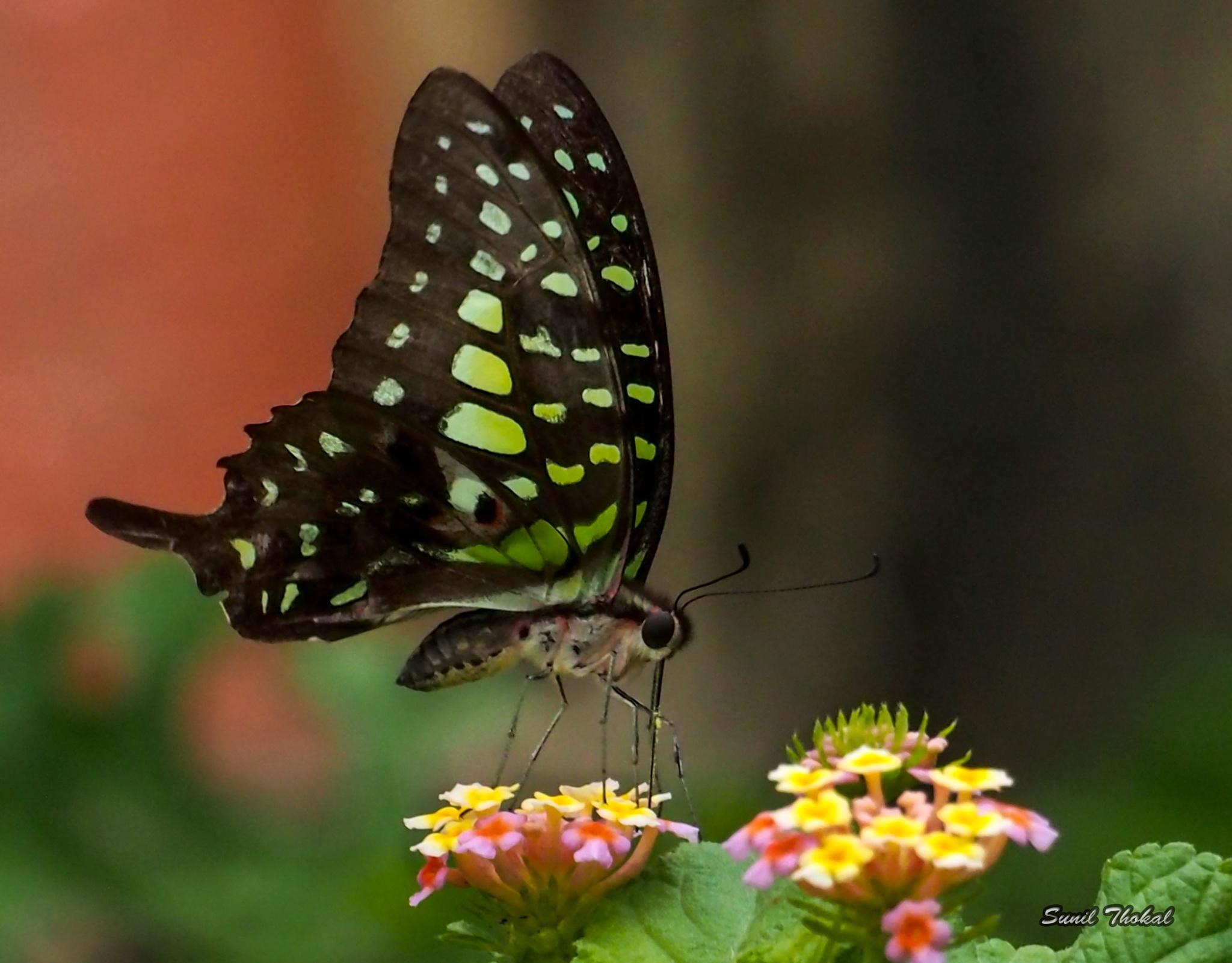 """Butterfly """"Tailed Jay"""" by Sunil Prabhakar Thokal"""