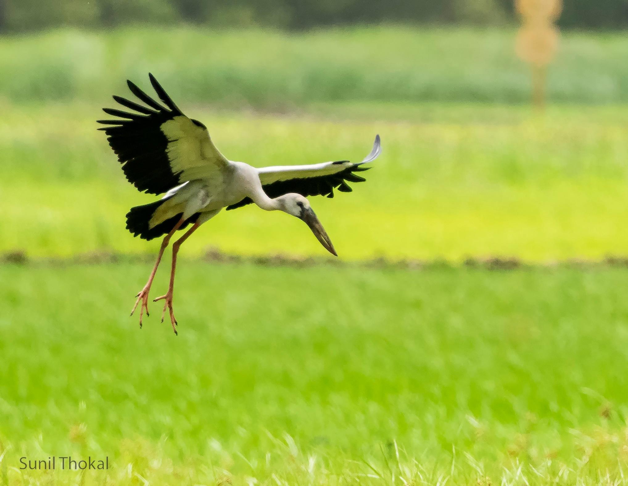 Open Billed Stork by Sunil Prabhakar Thokal