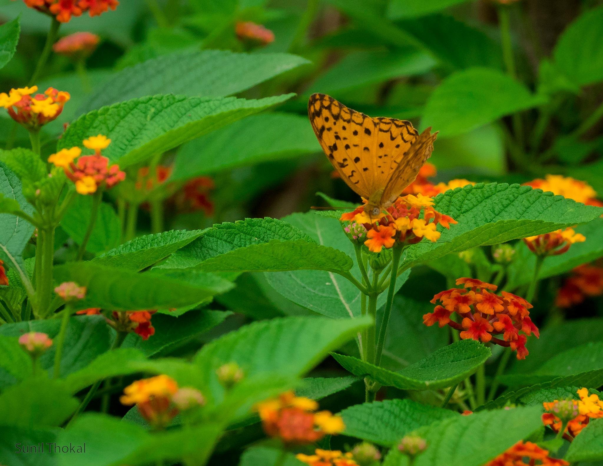 Common Leopard by Sunil Prabhakar Thokal