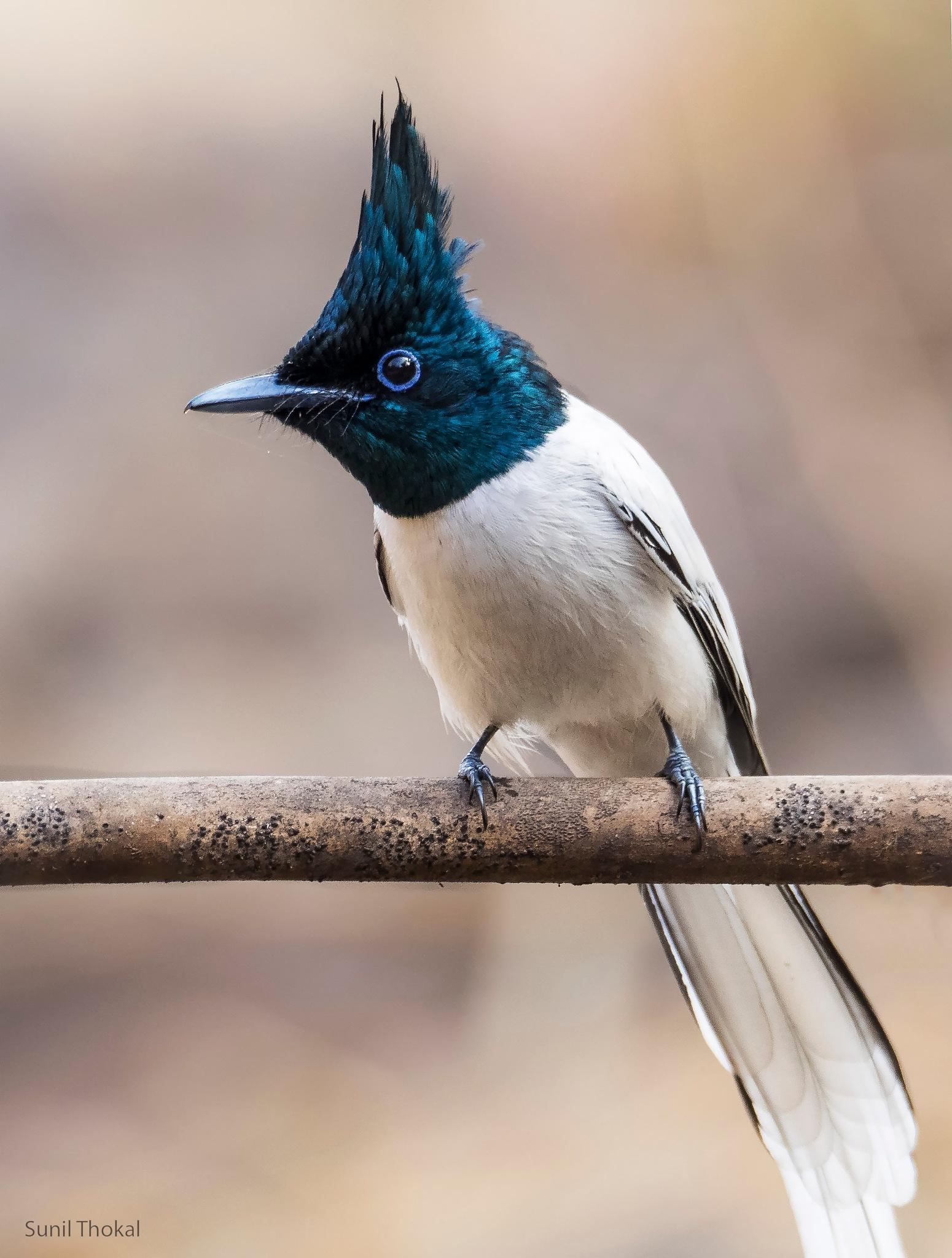 Asian Paradise Flycatcher by Sunil Prabhakar Thokal