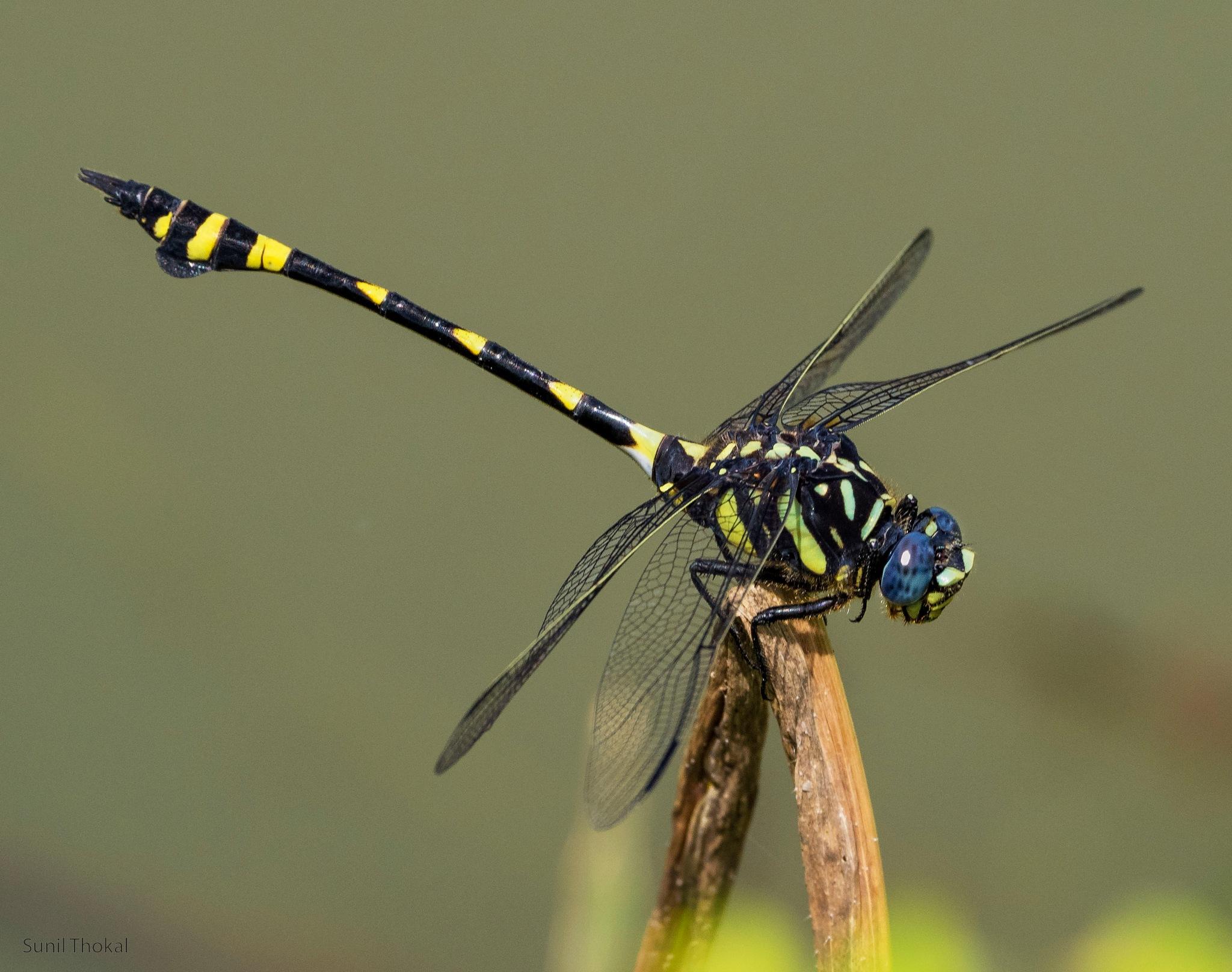 Dragon-fly by Sunil Prabhakar Thokal