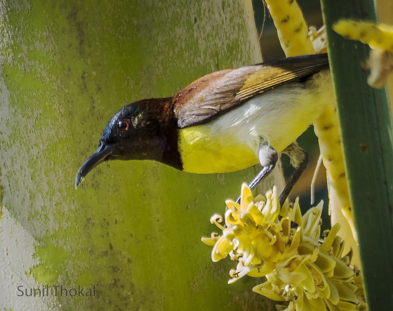 Purple Rumpted Sunbird by Sunil Prabhakar Thokal