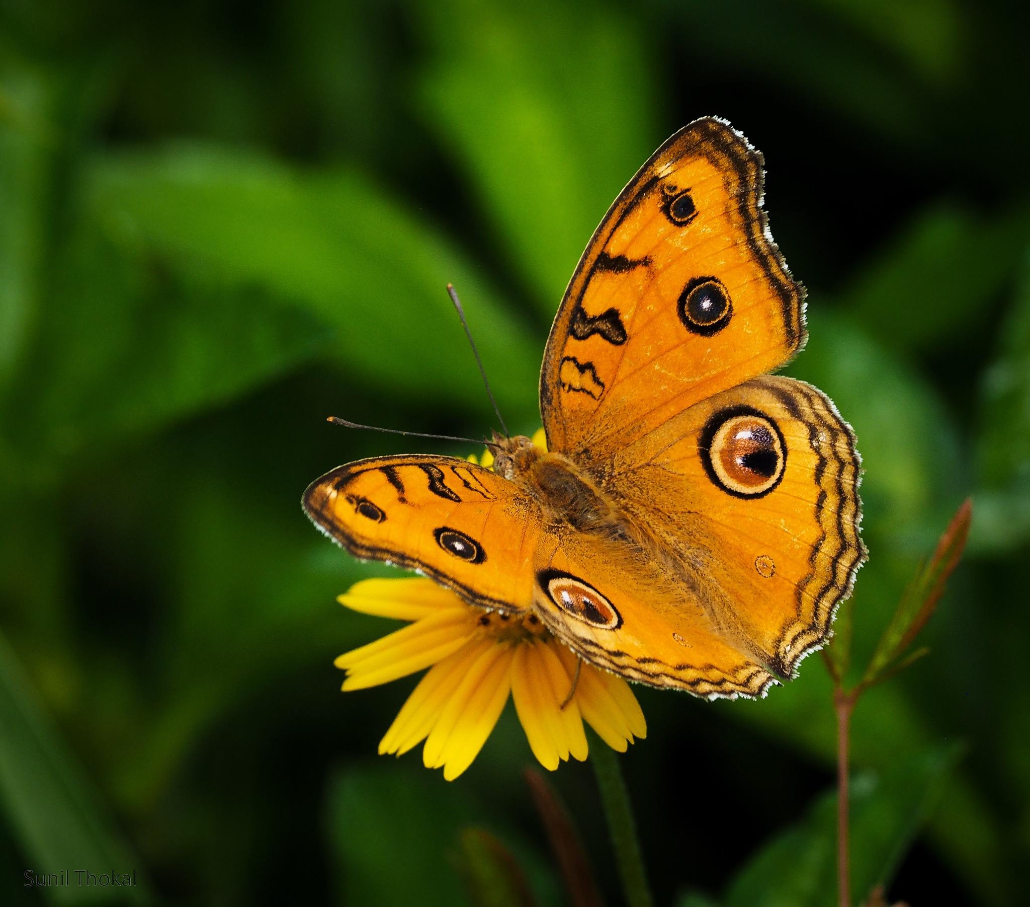 Peacock Pansy by Sunil Prabhakar Thokal