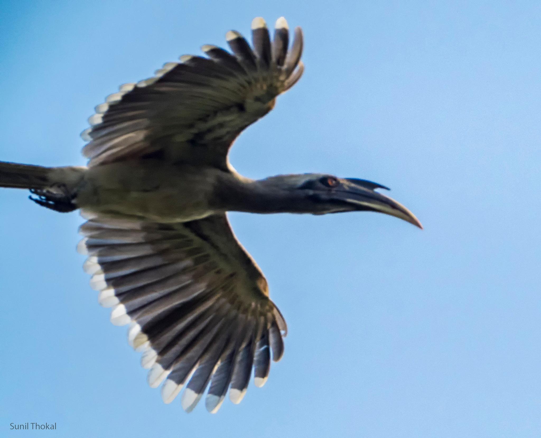Grey Hornbill by Sunil Prabhakar Thokal