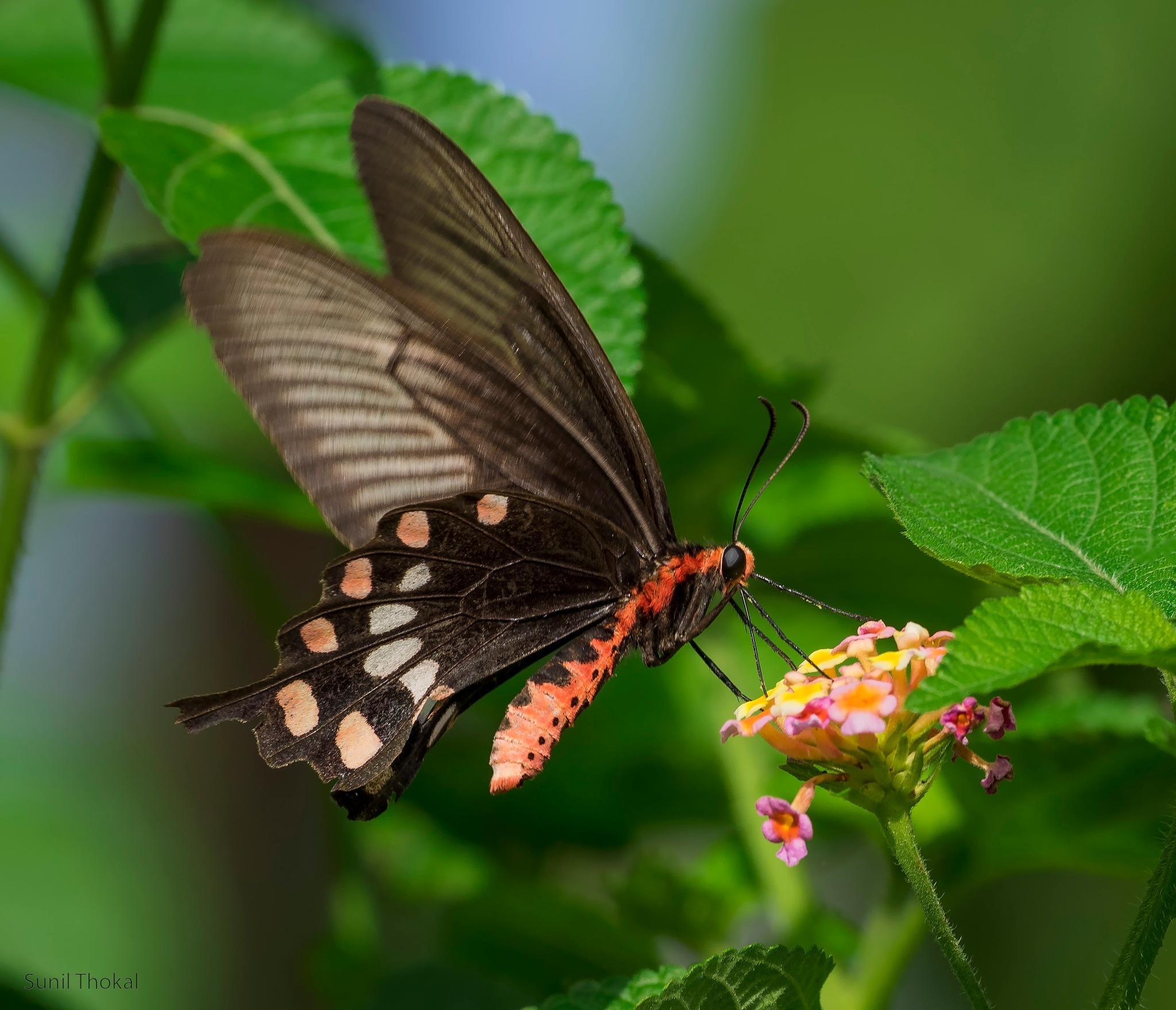 Common Rose by Sunil Prabhakar Thokal