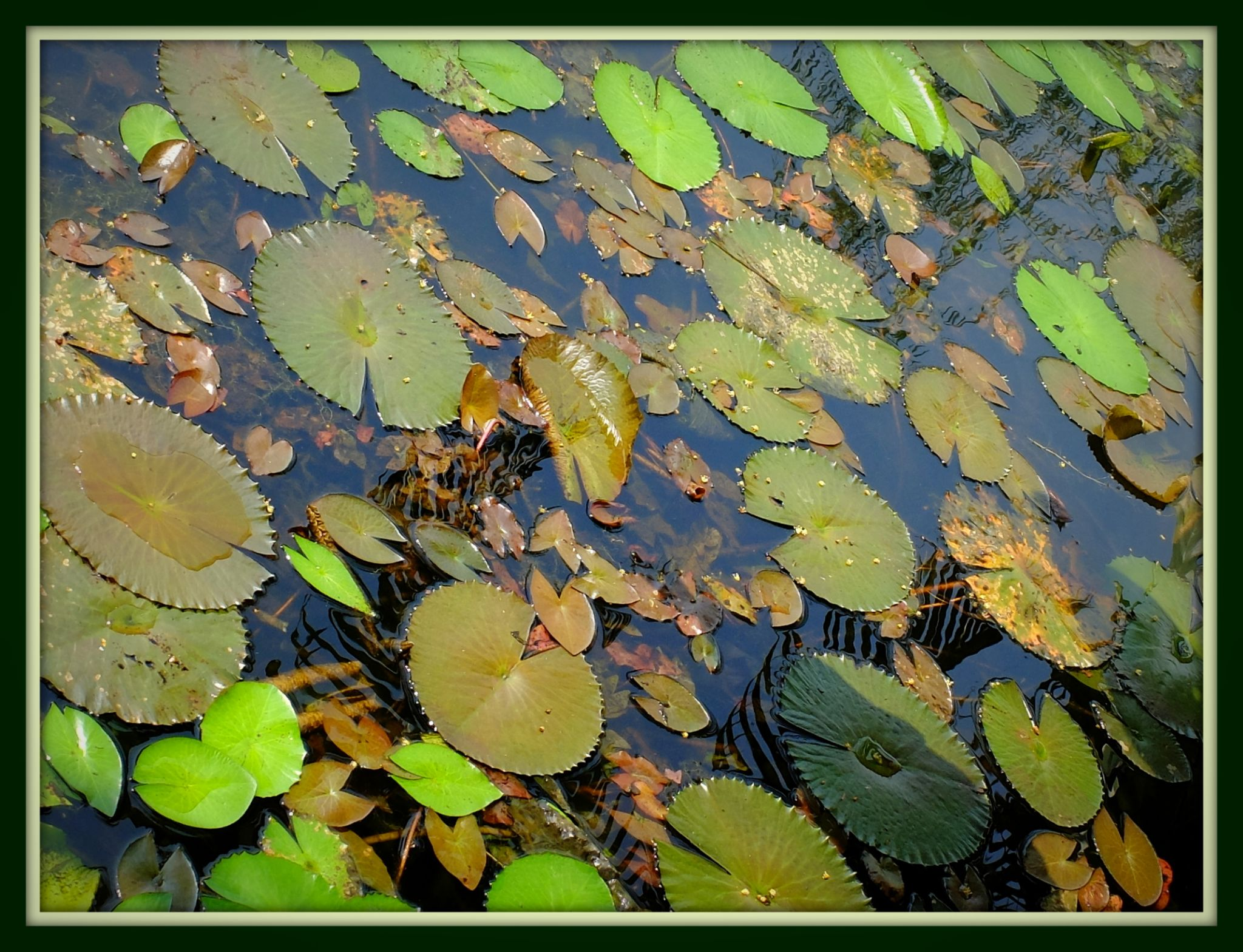 Lotus leaf from the pond by fragranceumlee