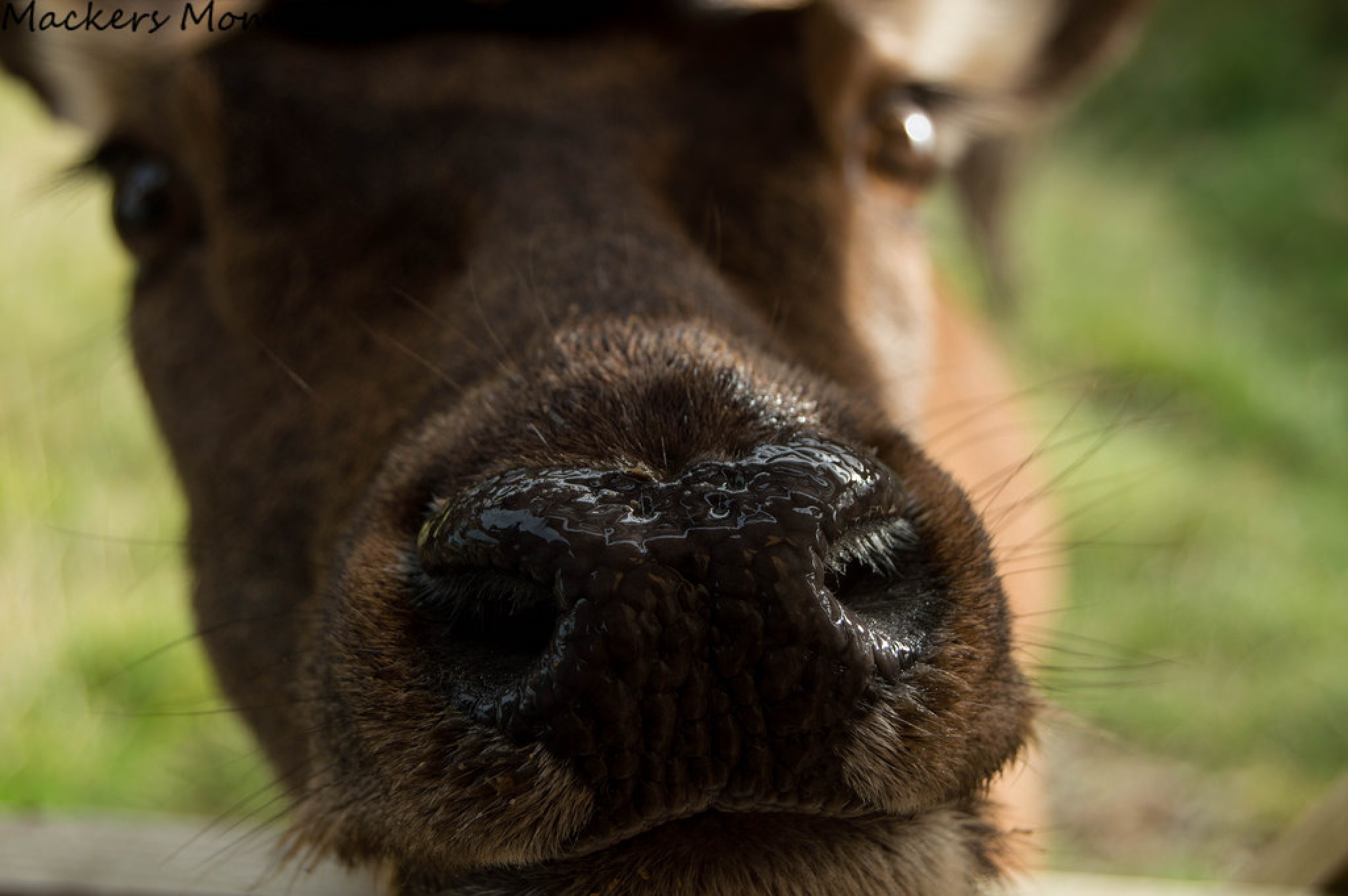Inquisitive deer.  by Gillianswull