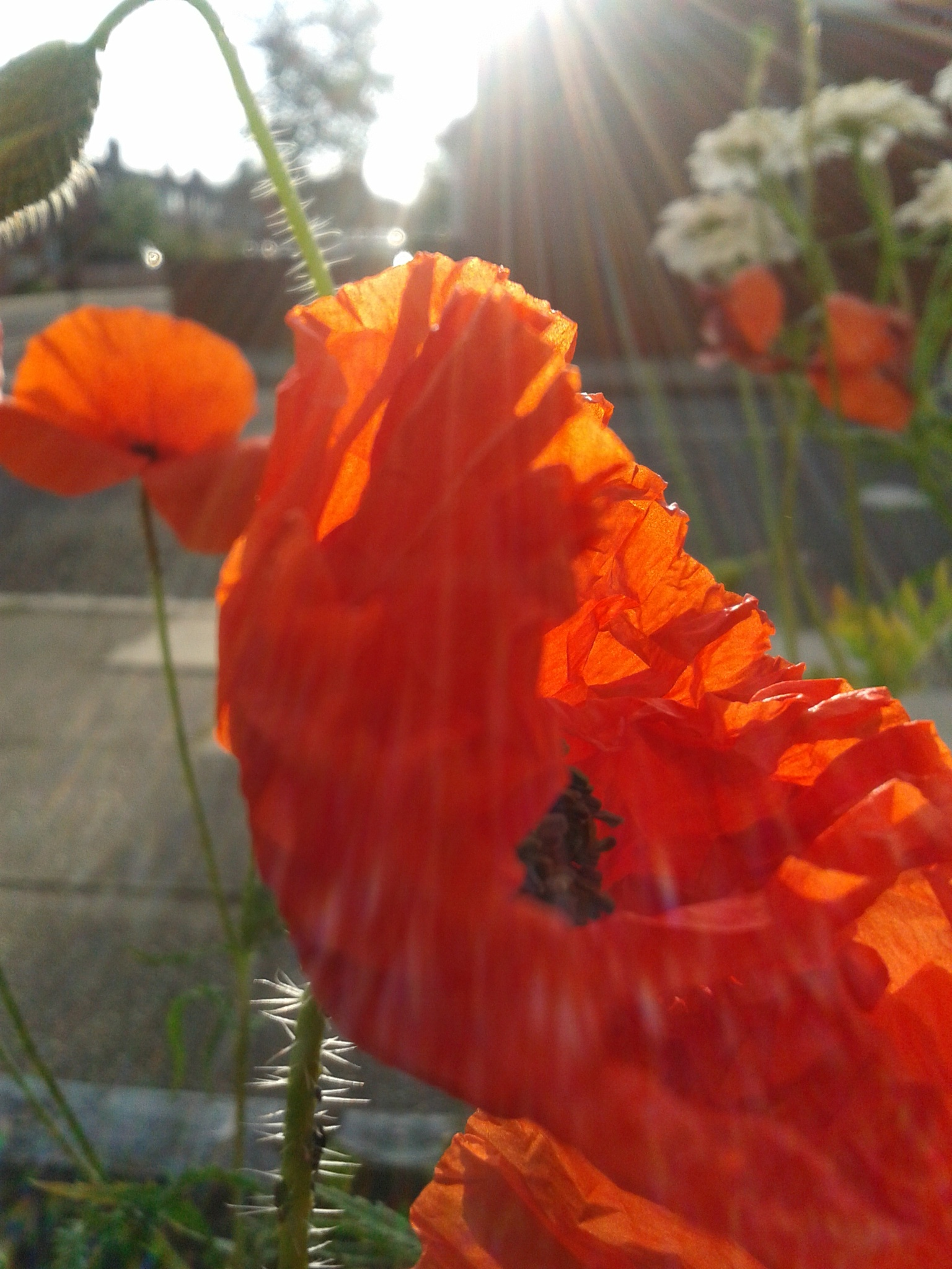 Back lit Poppy. by witchosity