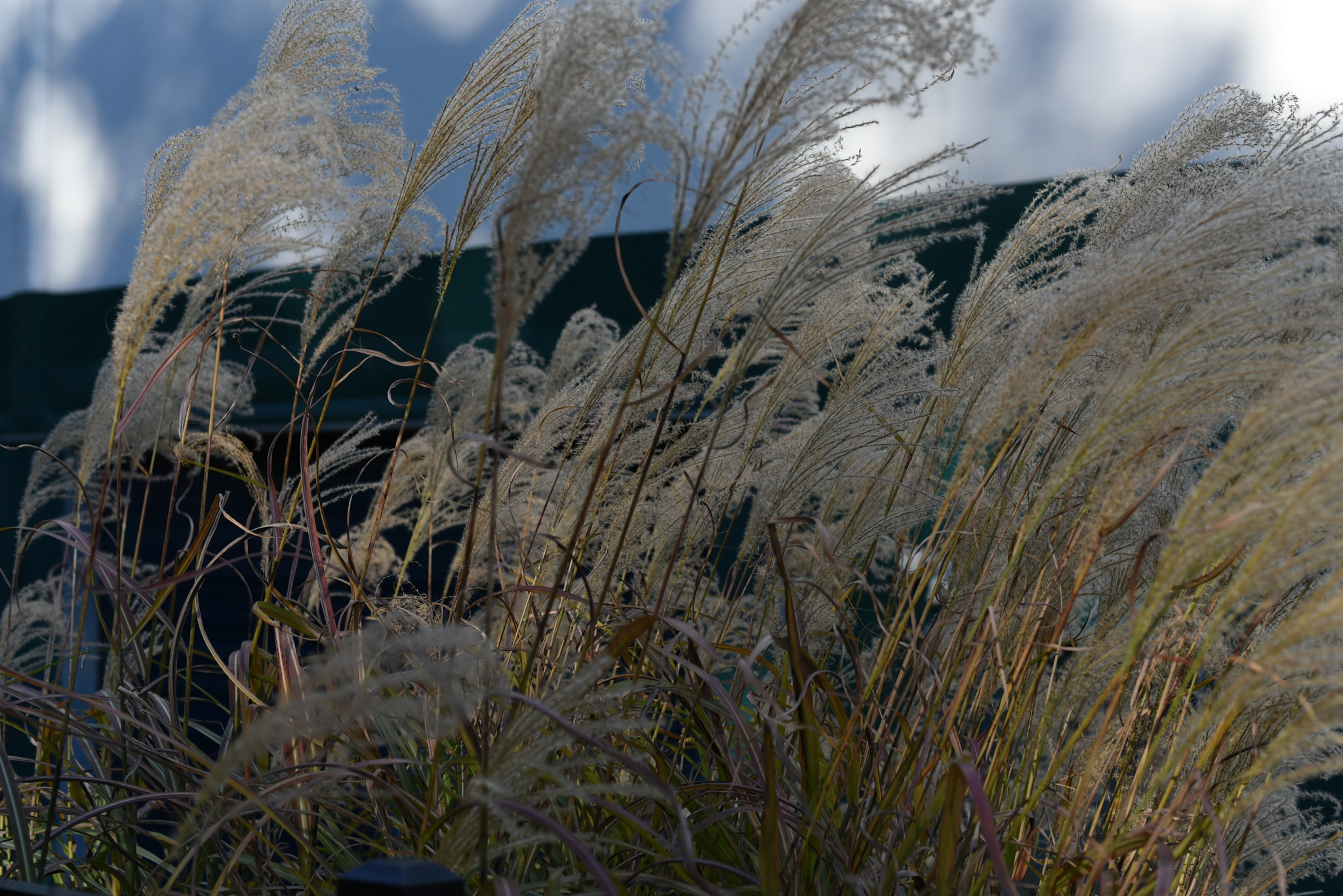 Photography Class - Brachytricha - Decorative grass by Vizzpat