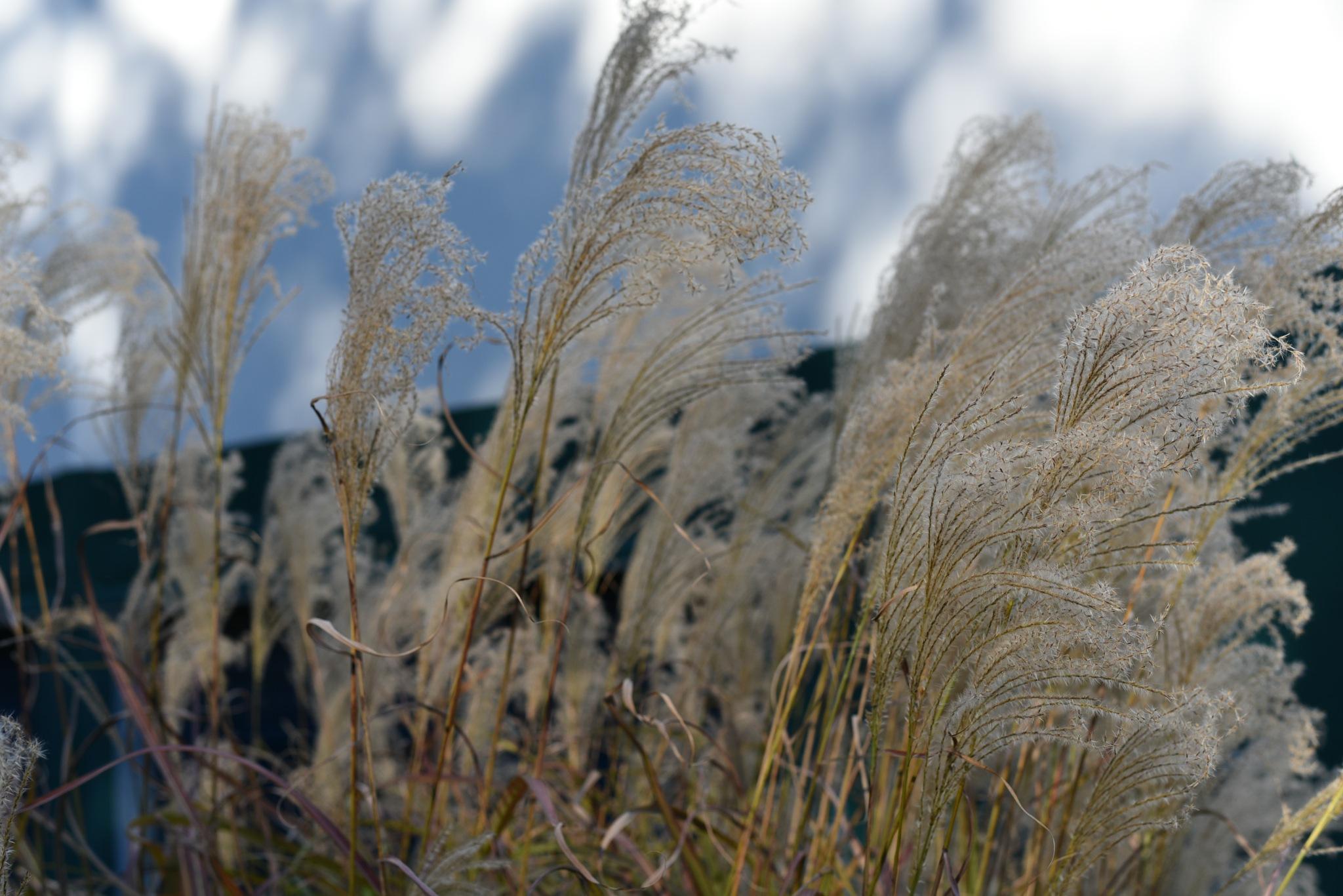Photography Class - Brachytricha - Decorative grasses with fronds by Vizzpat