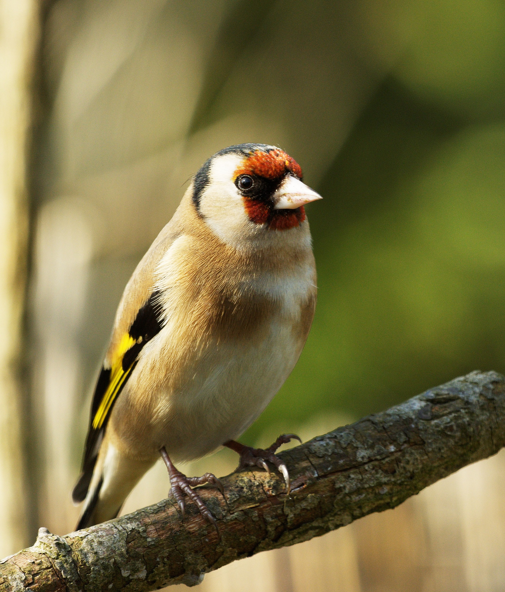 Goldfinch by Paul Collins