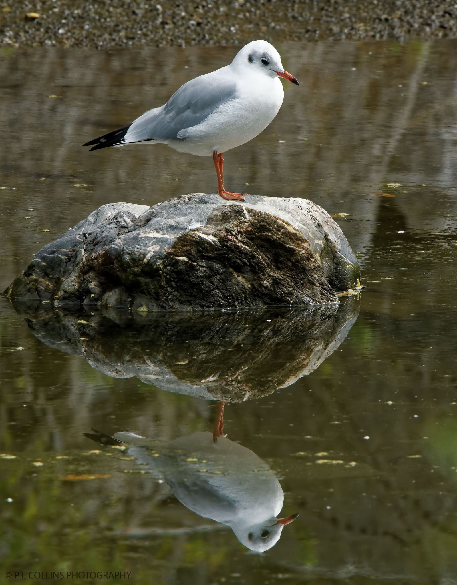 Black headed gull by Paul Collins