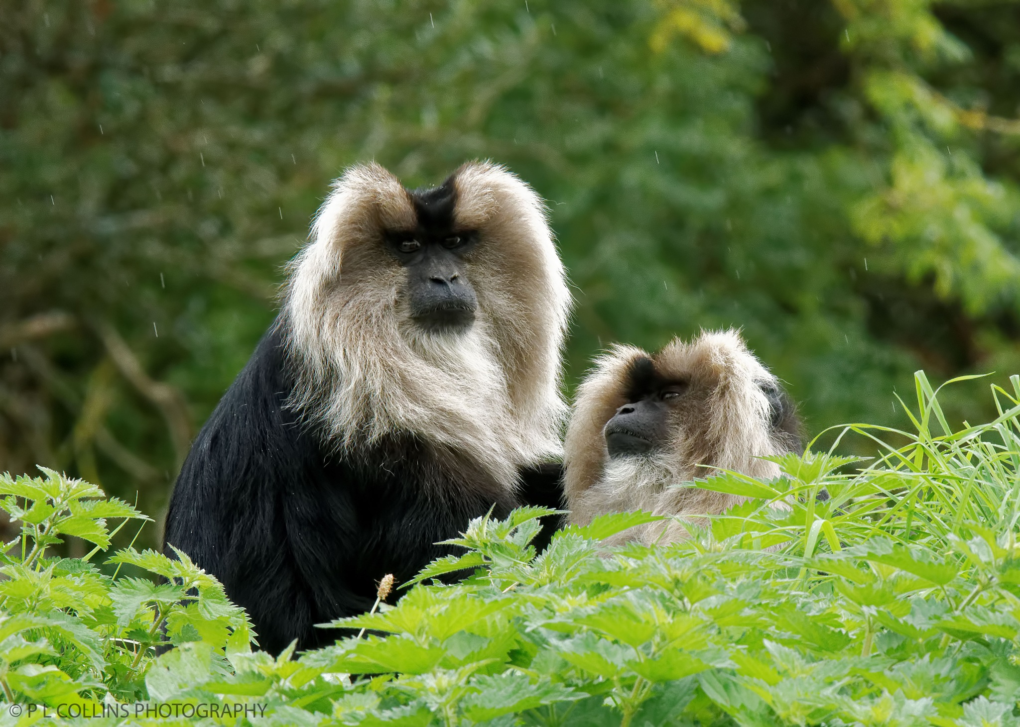 Two Lion-tailed Macaque's by Paul Collins