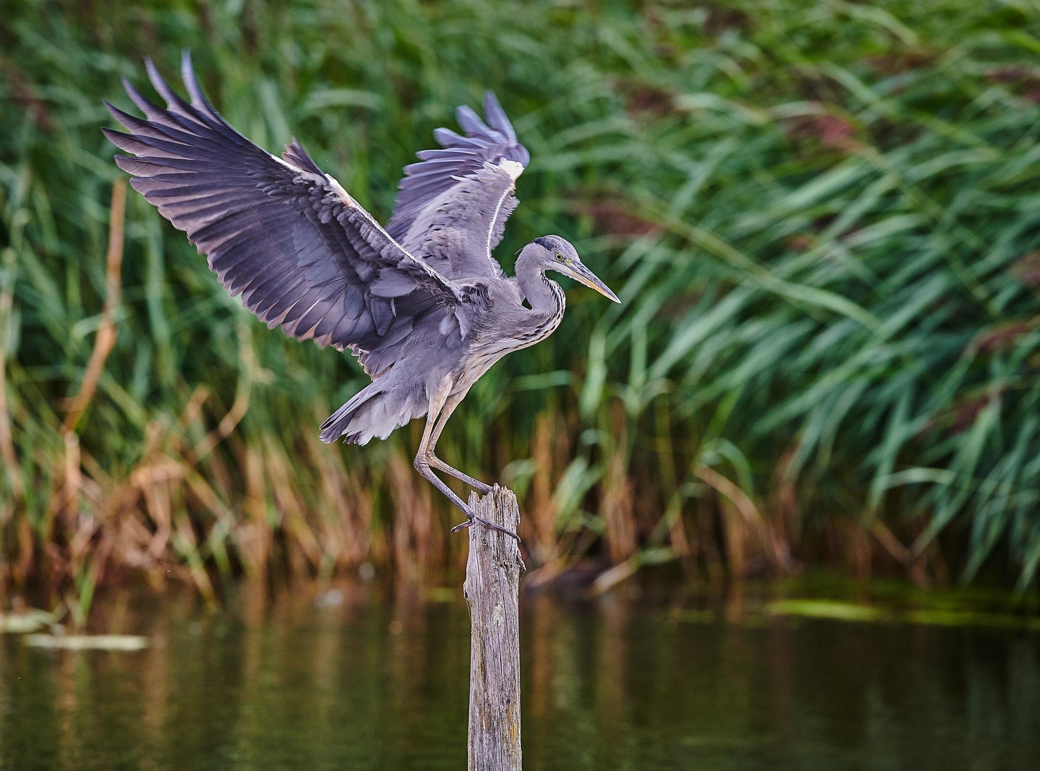 Skilful Grey Heron landing on a pole by Paul Collins