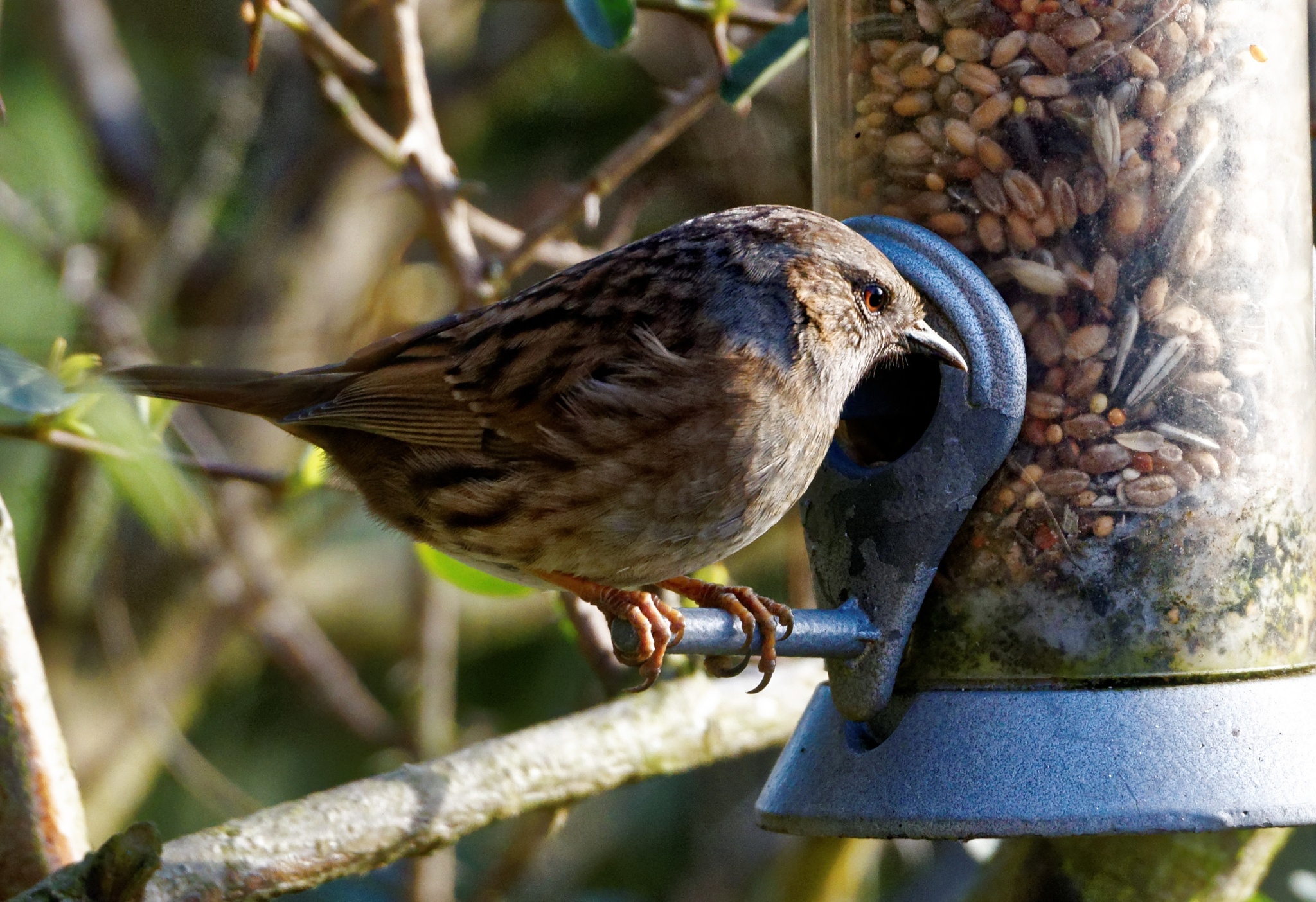 Hedge Sparrow on feeder by Paul Collins