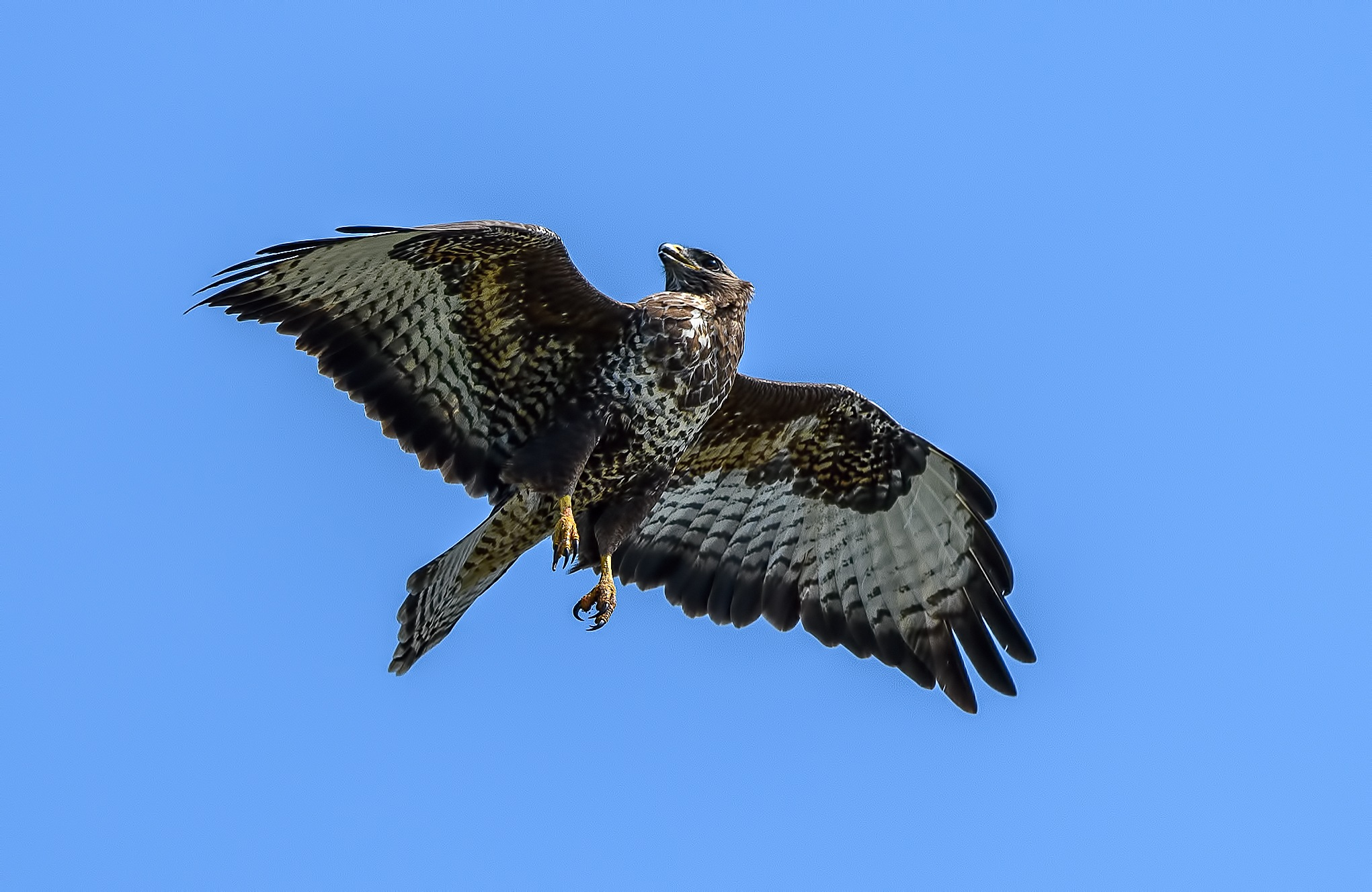 Buzzard being chased by Paul Collins