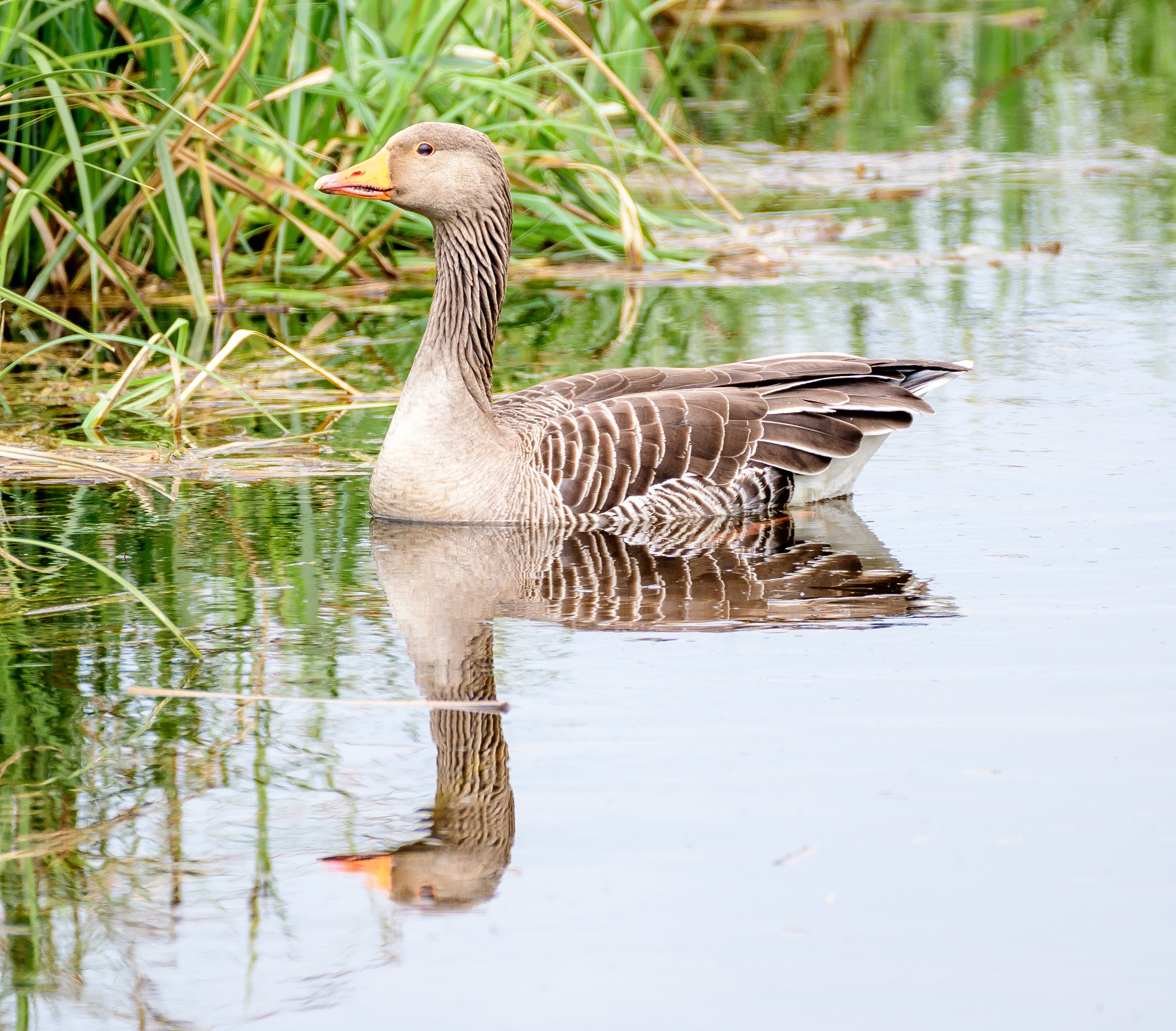 Reflecting on the Greylag Goose by Paul Collins