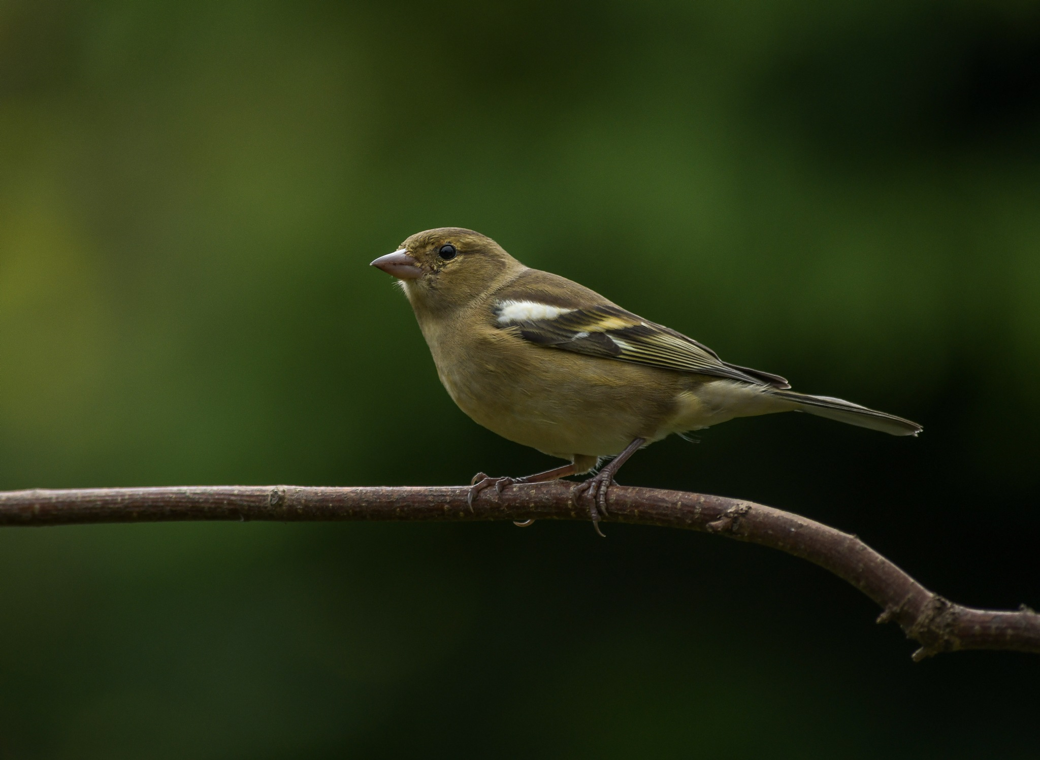 Female Chaffinch by Paul Collins