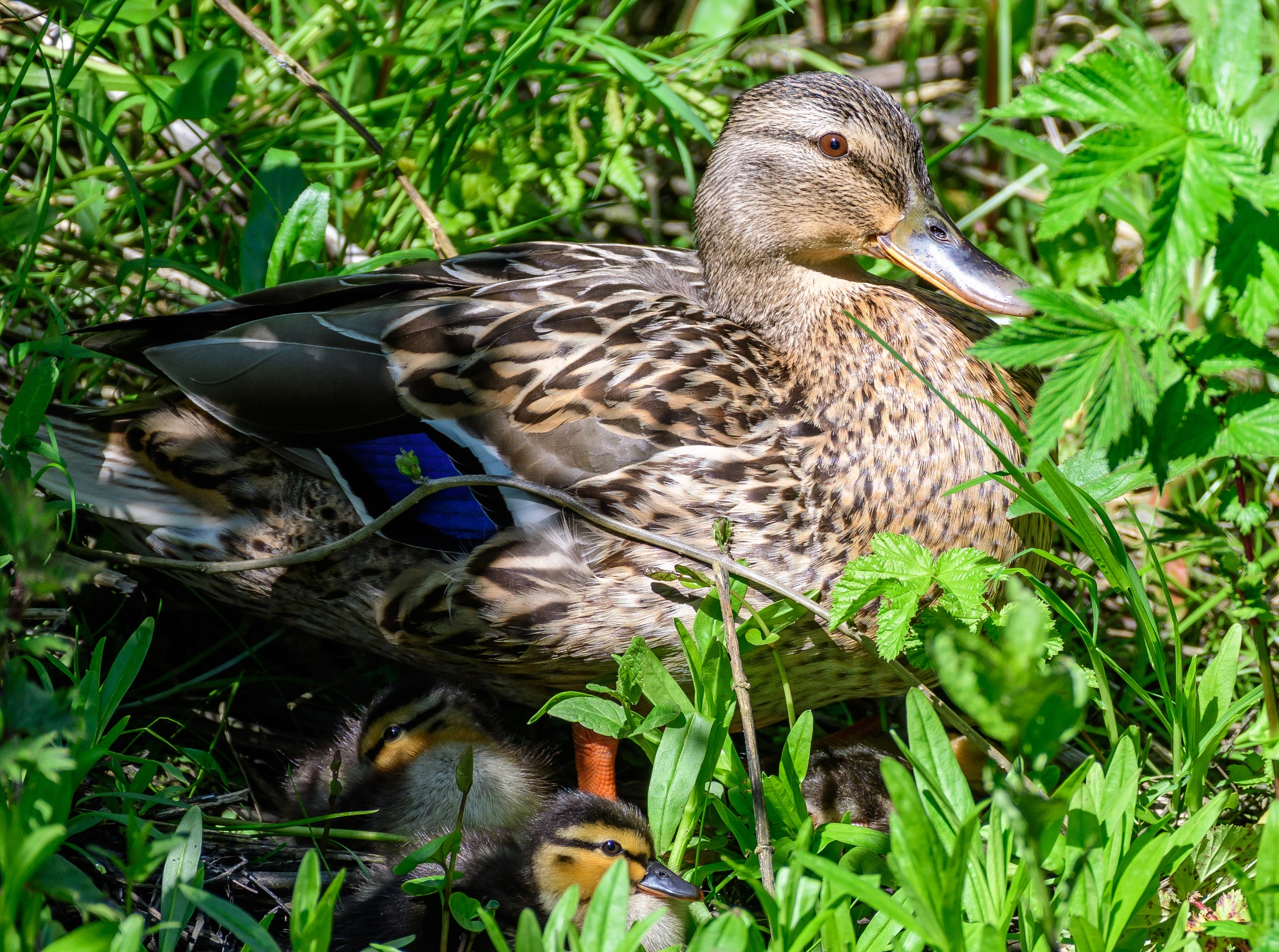 Mallard mother shading its ducklings by Paul Collins