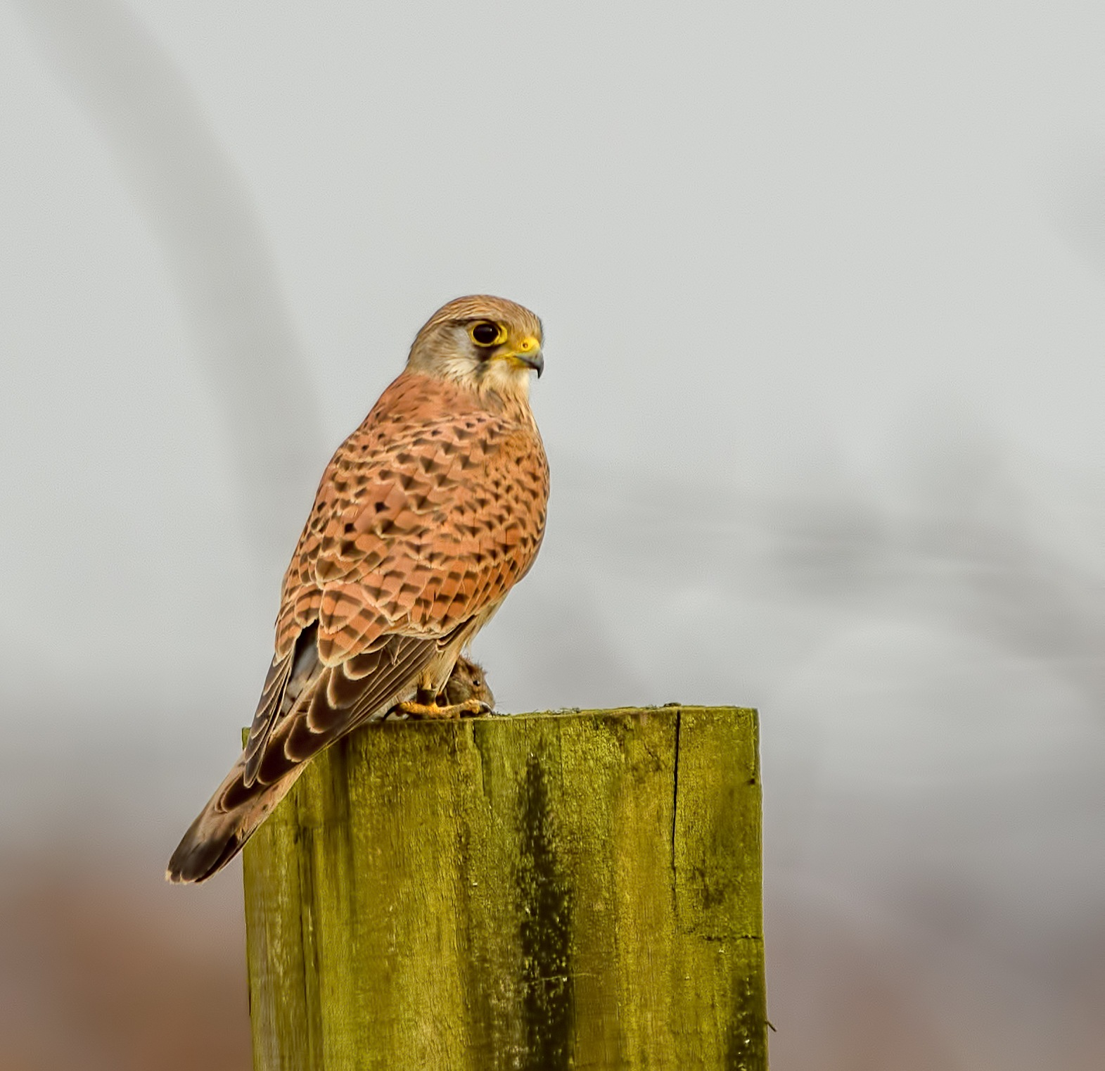 Female Kestrel with it's prey at RSPB Old Moor by Paul Collins