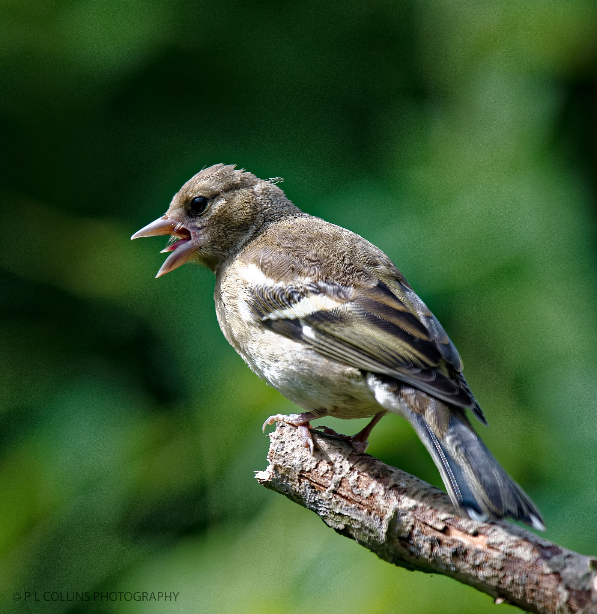 Juvenile Chaffinch calling by Paul Collins