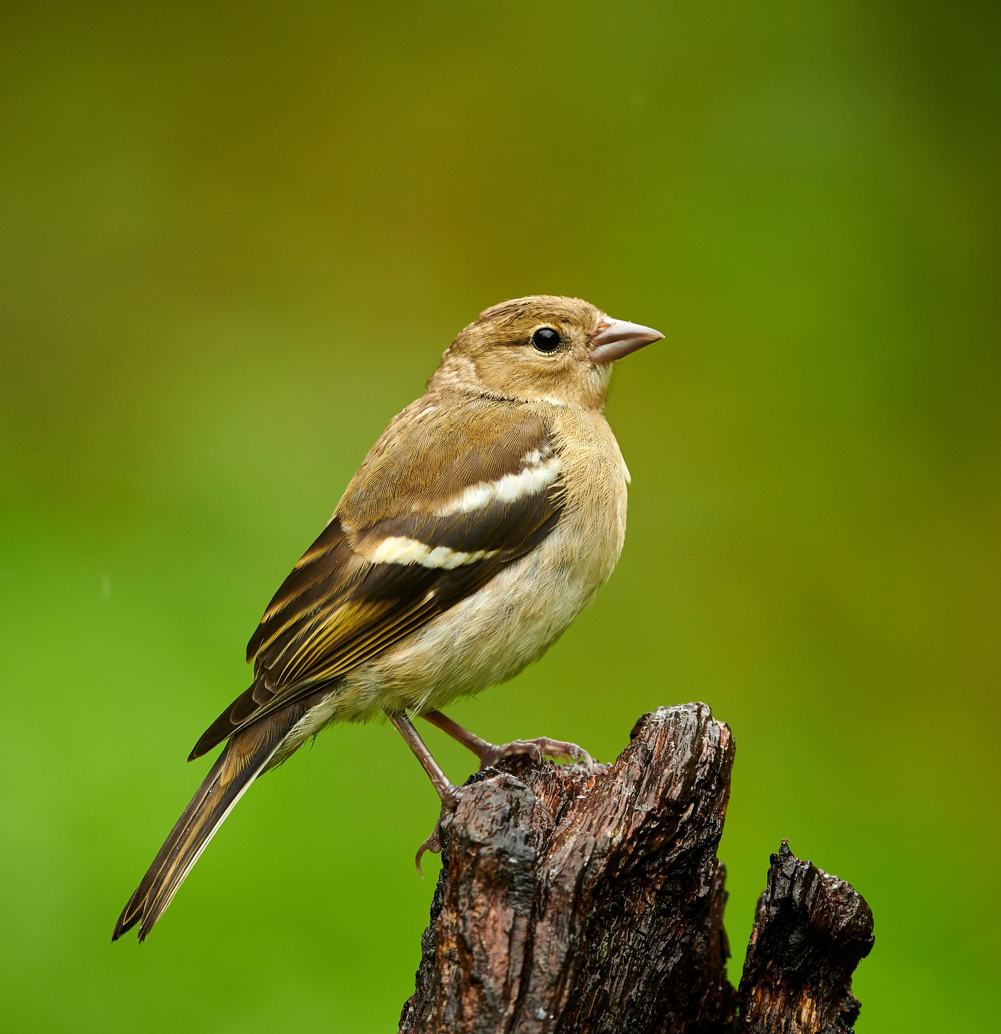Female Chaffinch in the rain by Paul Collins