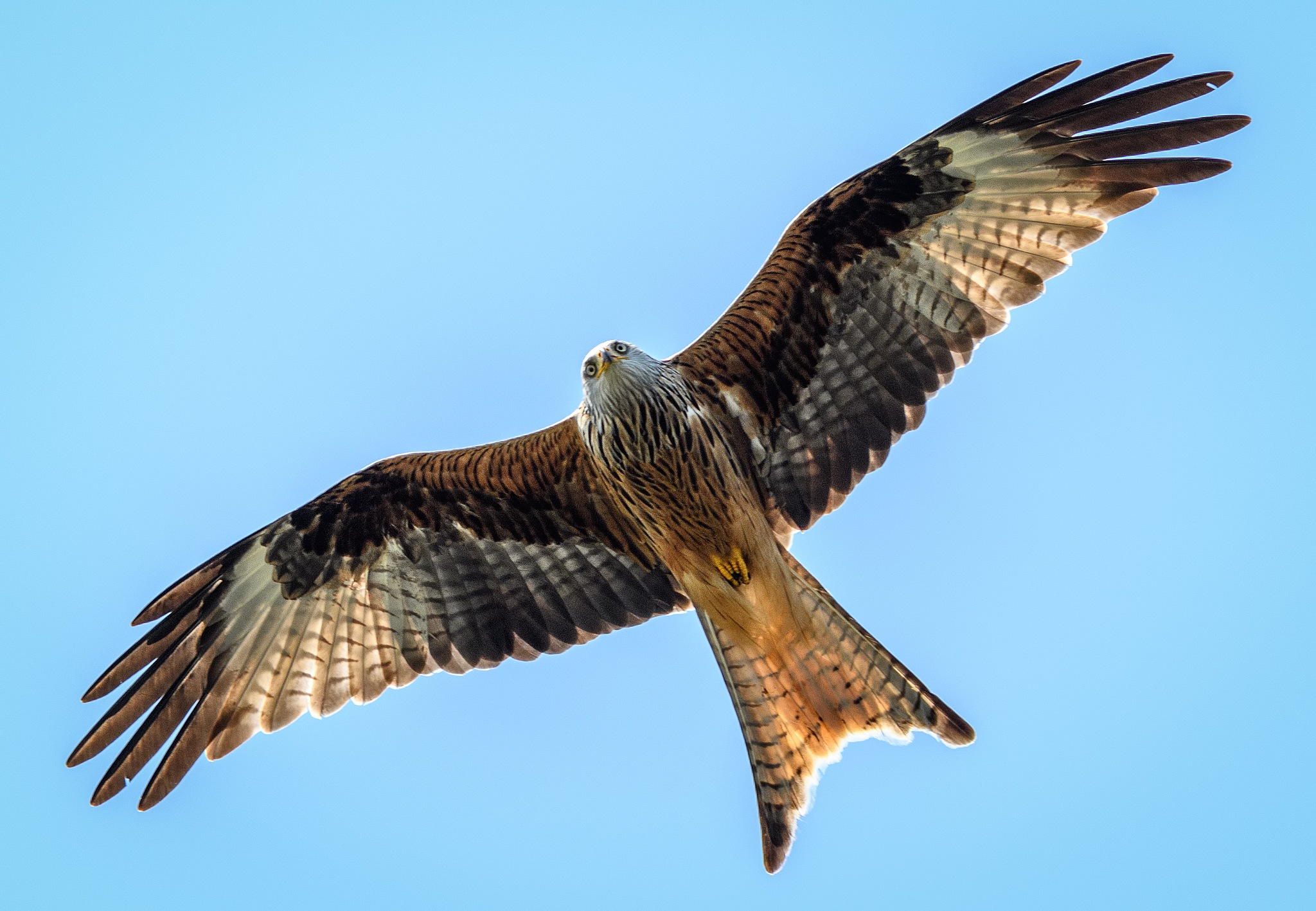 Red Kite soaring by Paul Collins